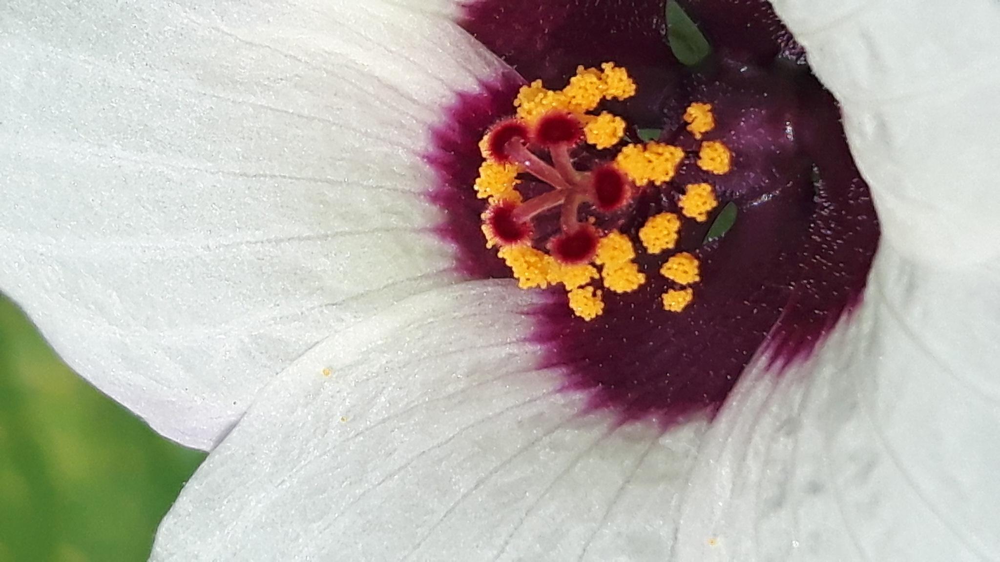 Fantasy of okra flower by Mevludin_Hasanovic