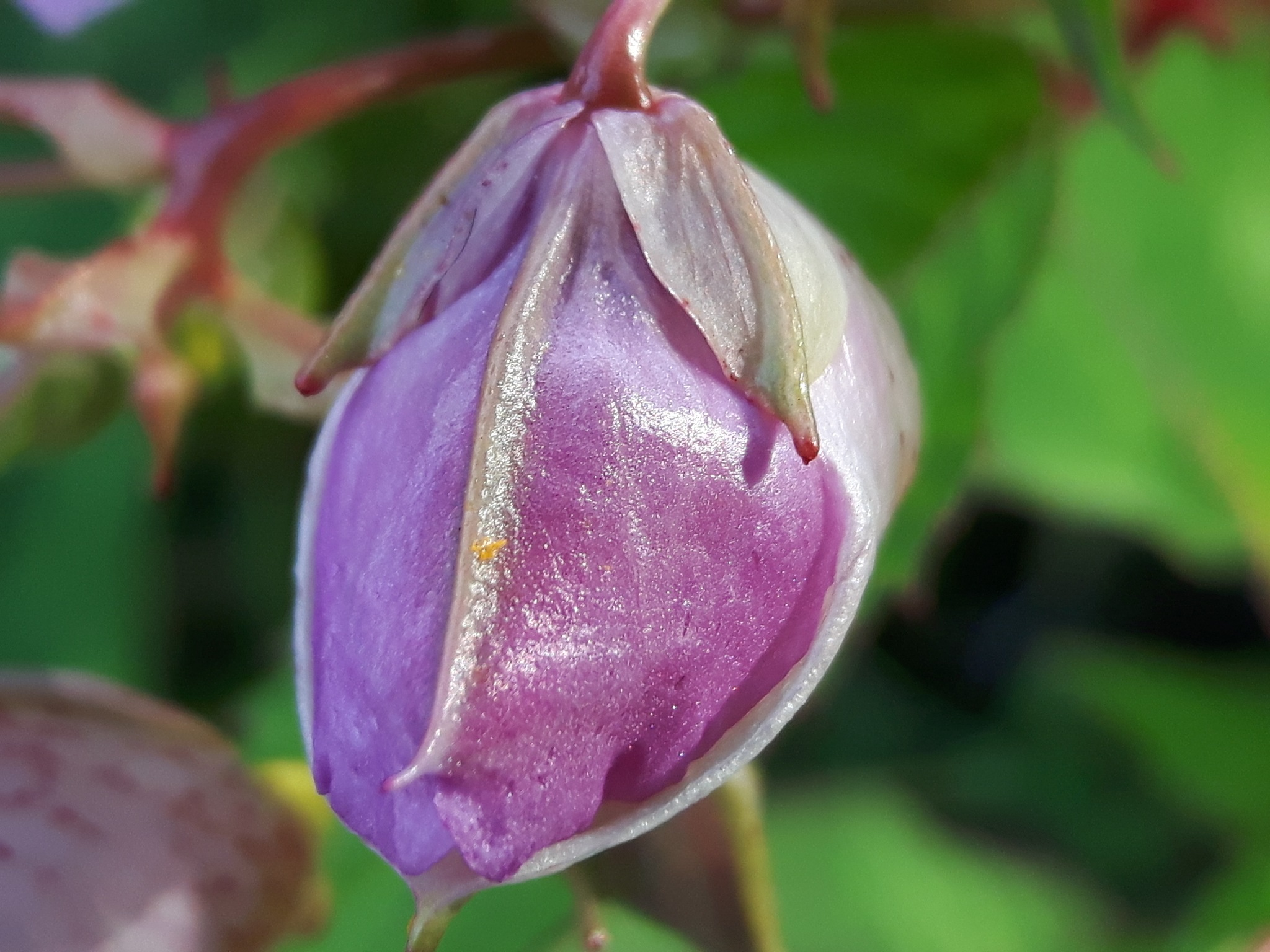 A bud with intention to open up by Mevludin_Hasanovic