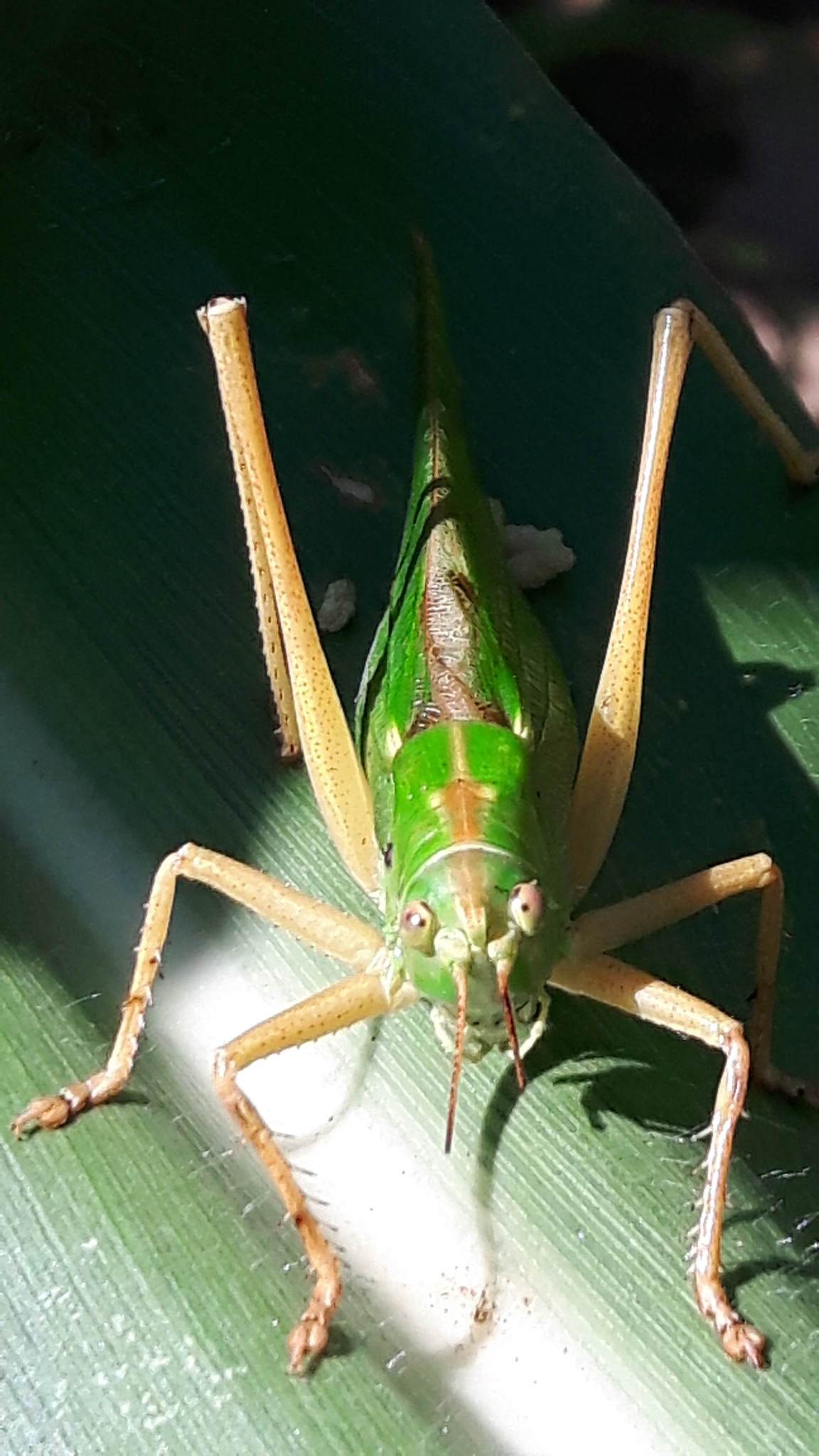 A beautiful green grasshopper by Mevludin_Hasanovic