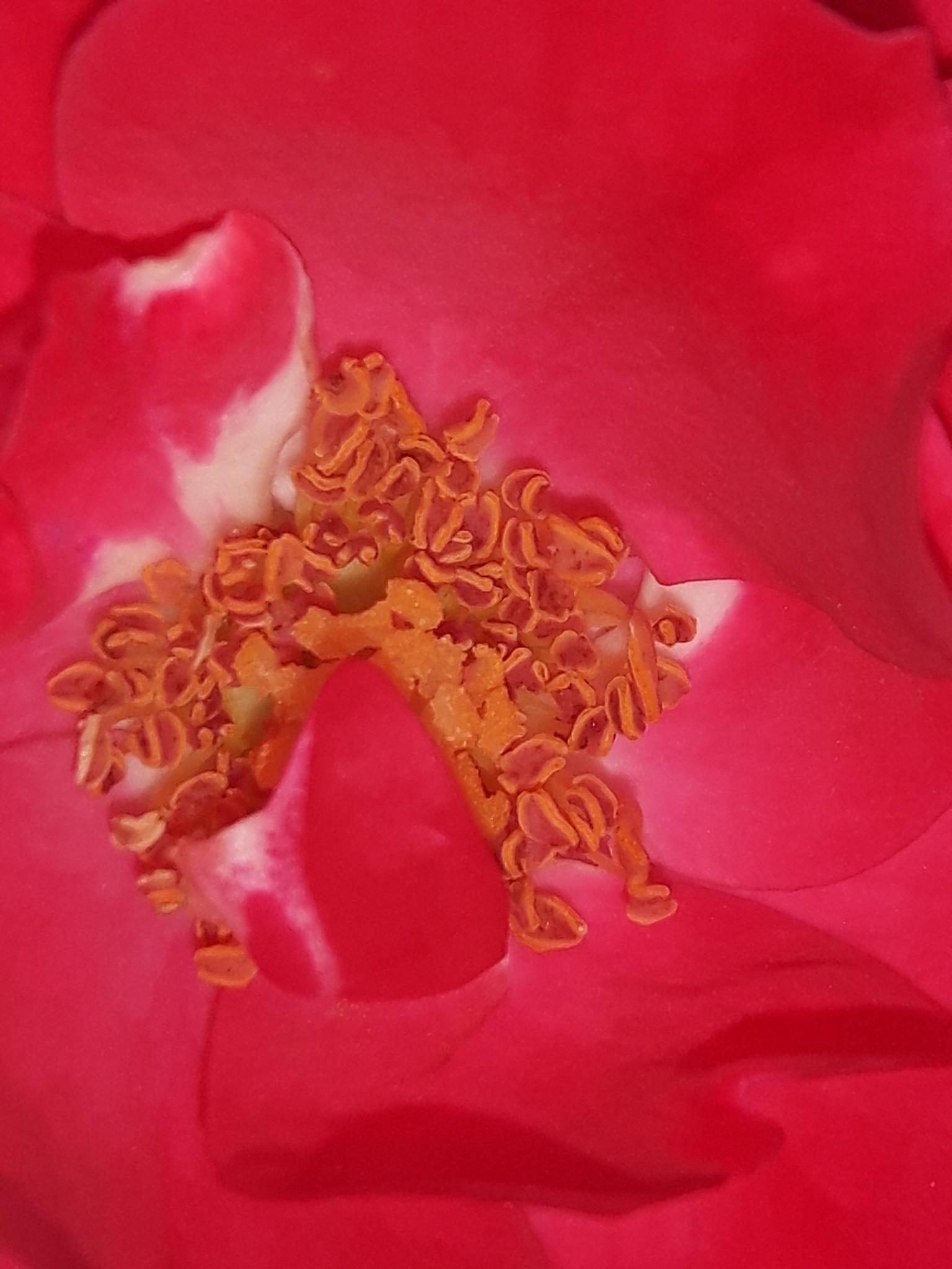 Rose inside by Mevludin_Hasanovic