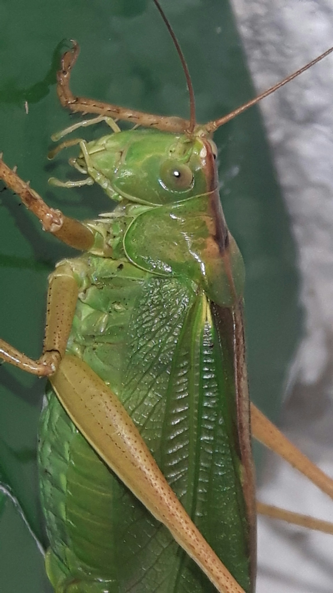 Beauty of a green grasshopper by Mevludin_Hasanovic