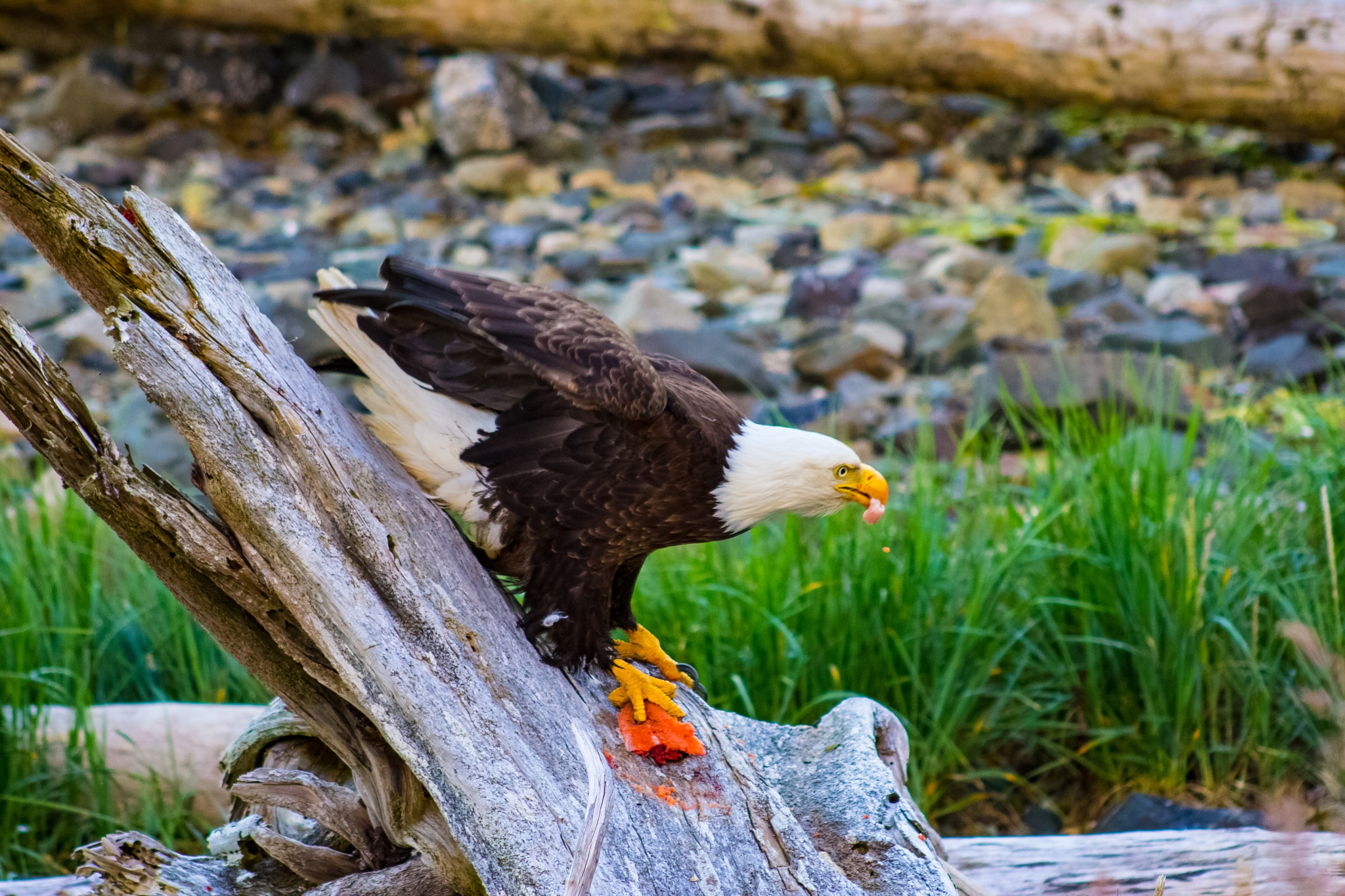 The Bald Eagle by Timeless Group