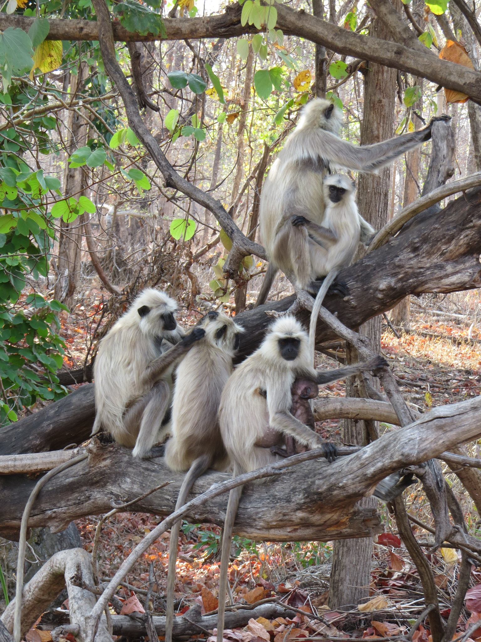 The primates by Jagdish Chandra