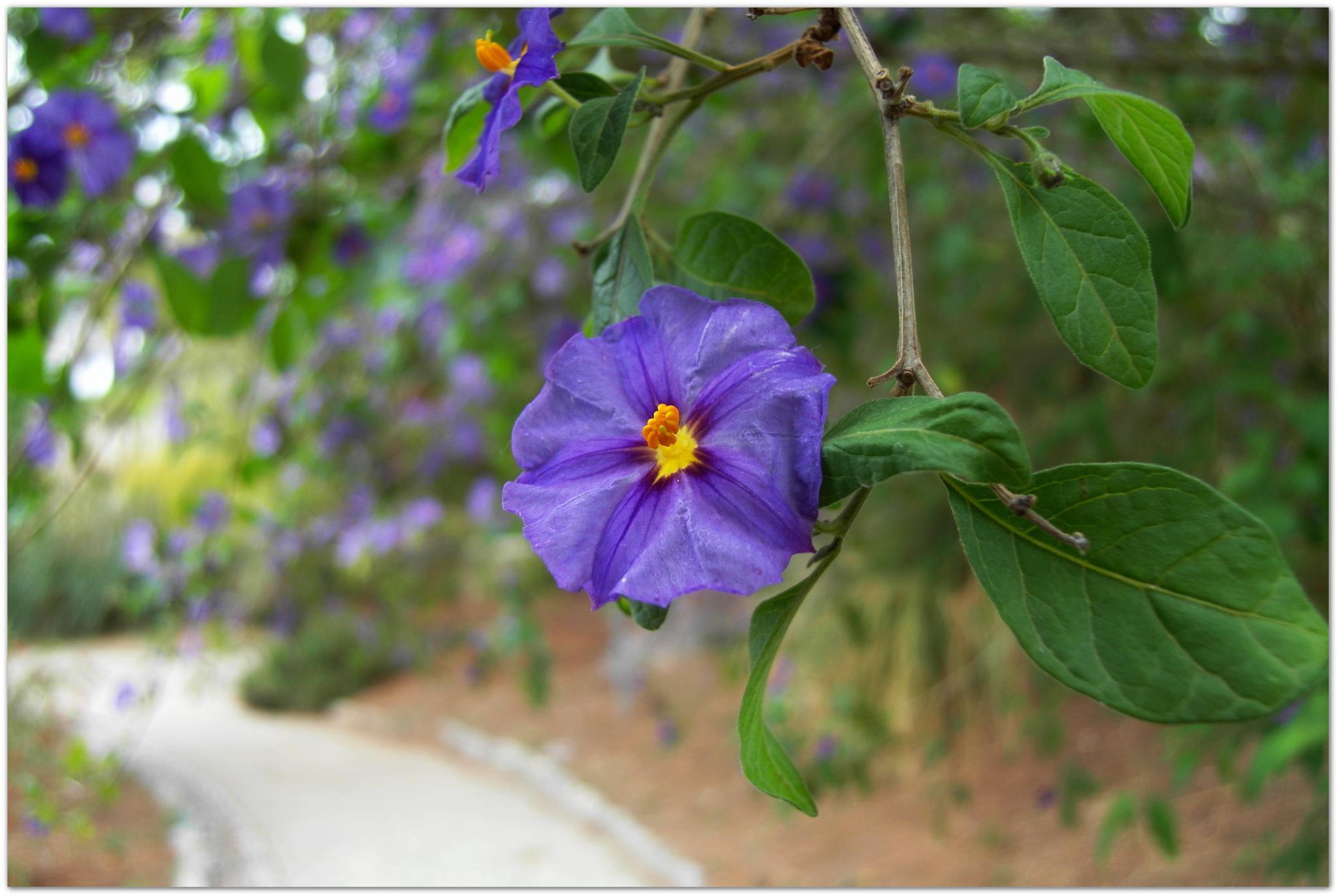 Solanum Lycioides by Antonella