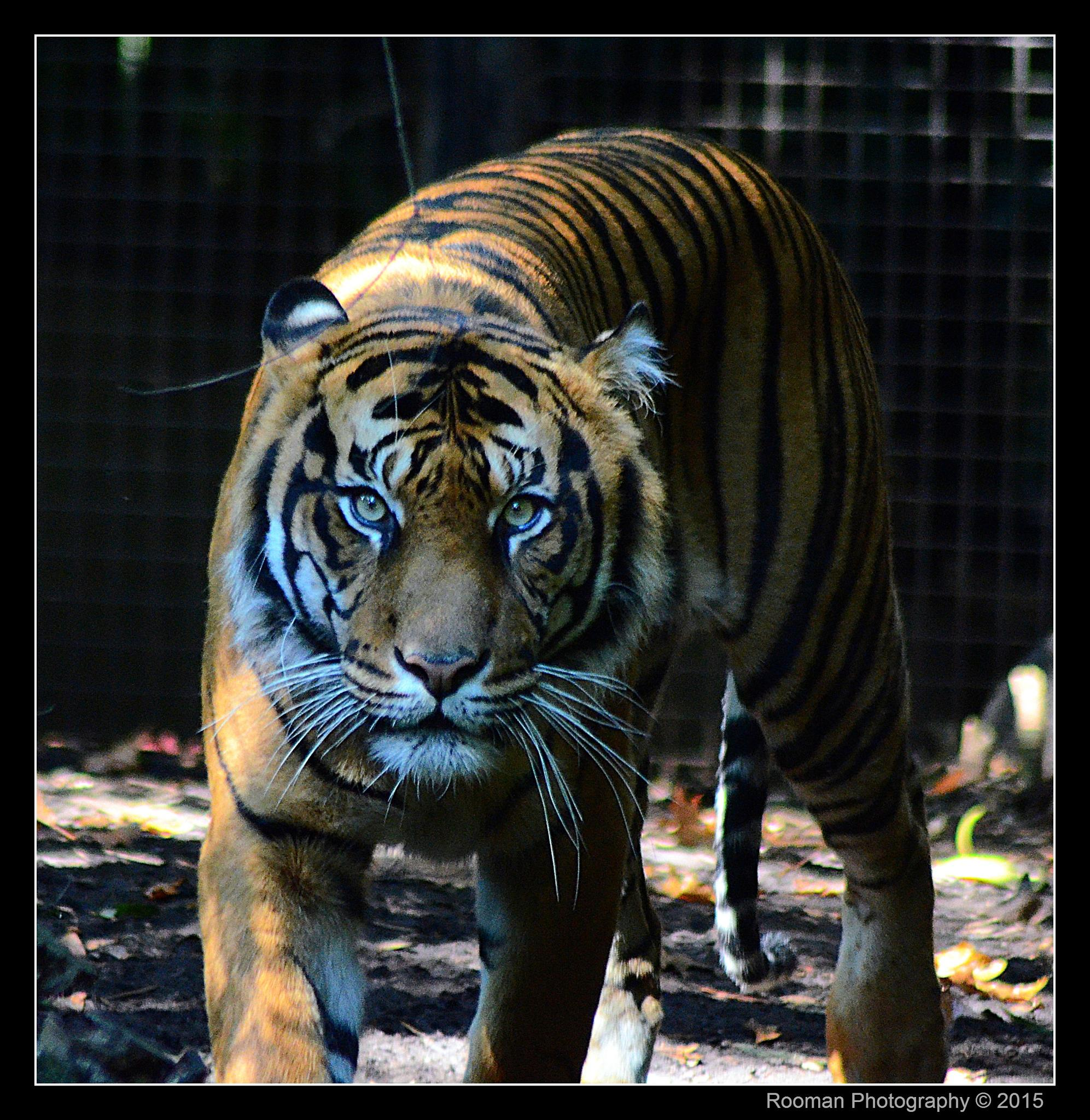Photo in Animal #tiger #cats #hunter