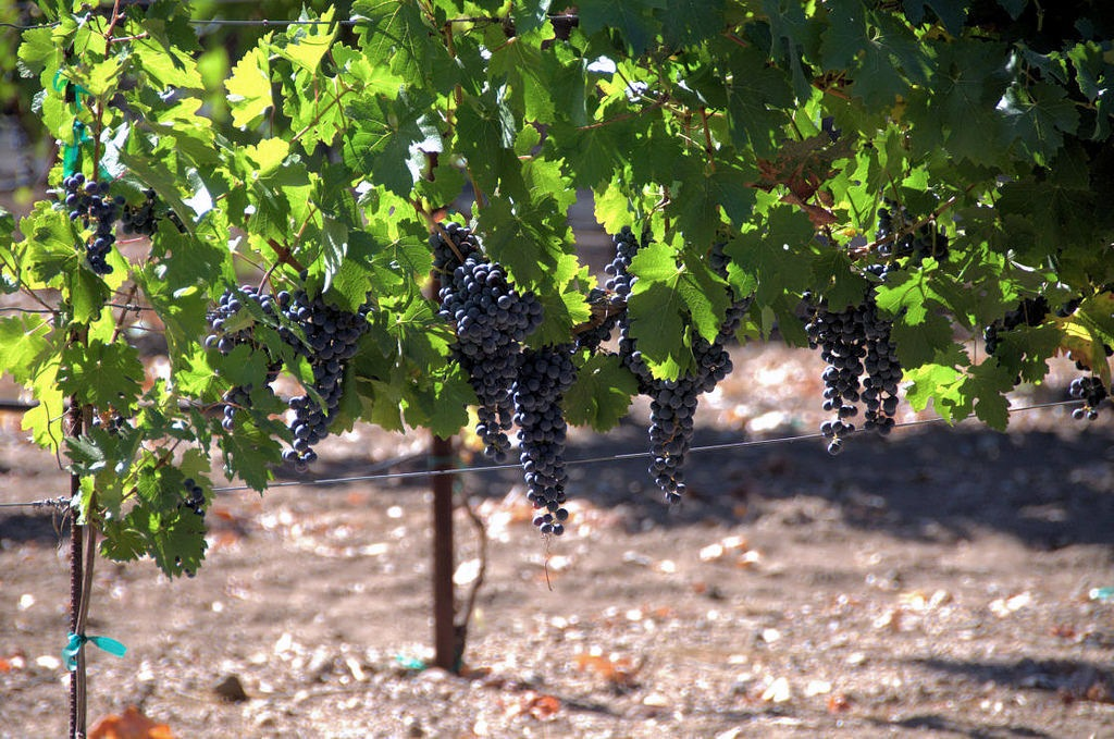 Cabernet Grapes by Steven M