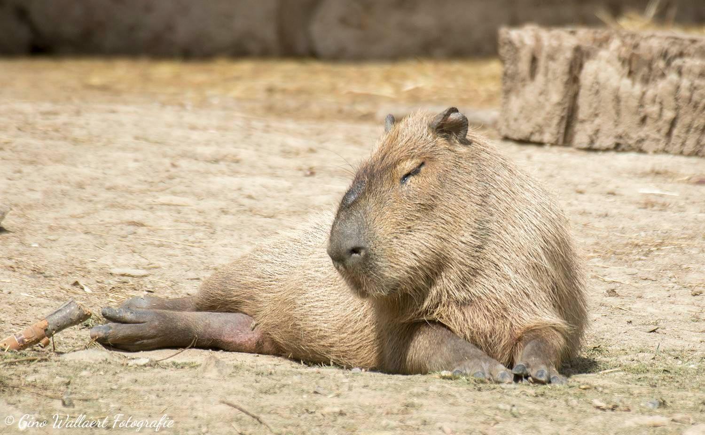 Capibara by Gino Wallaert