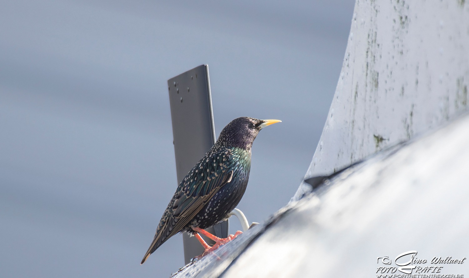 Starling by Gino Wallaert