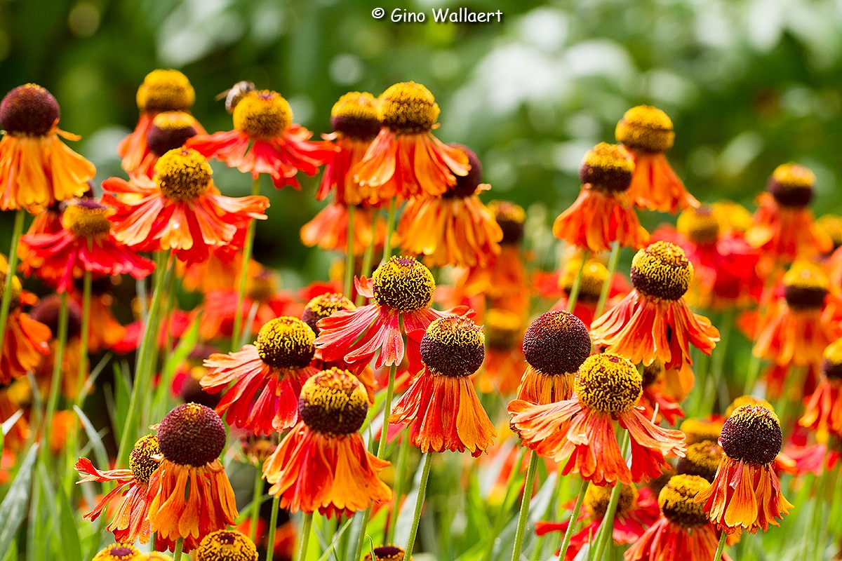 Flower colors by Gino Wallaert
