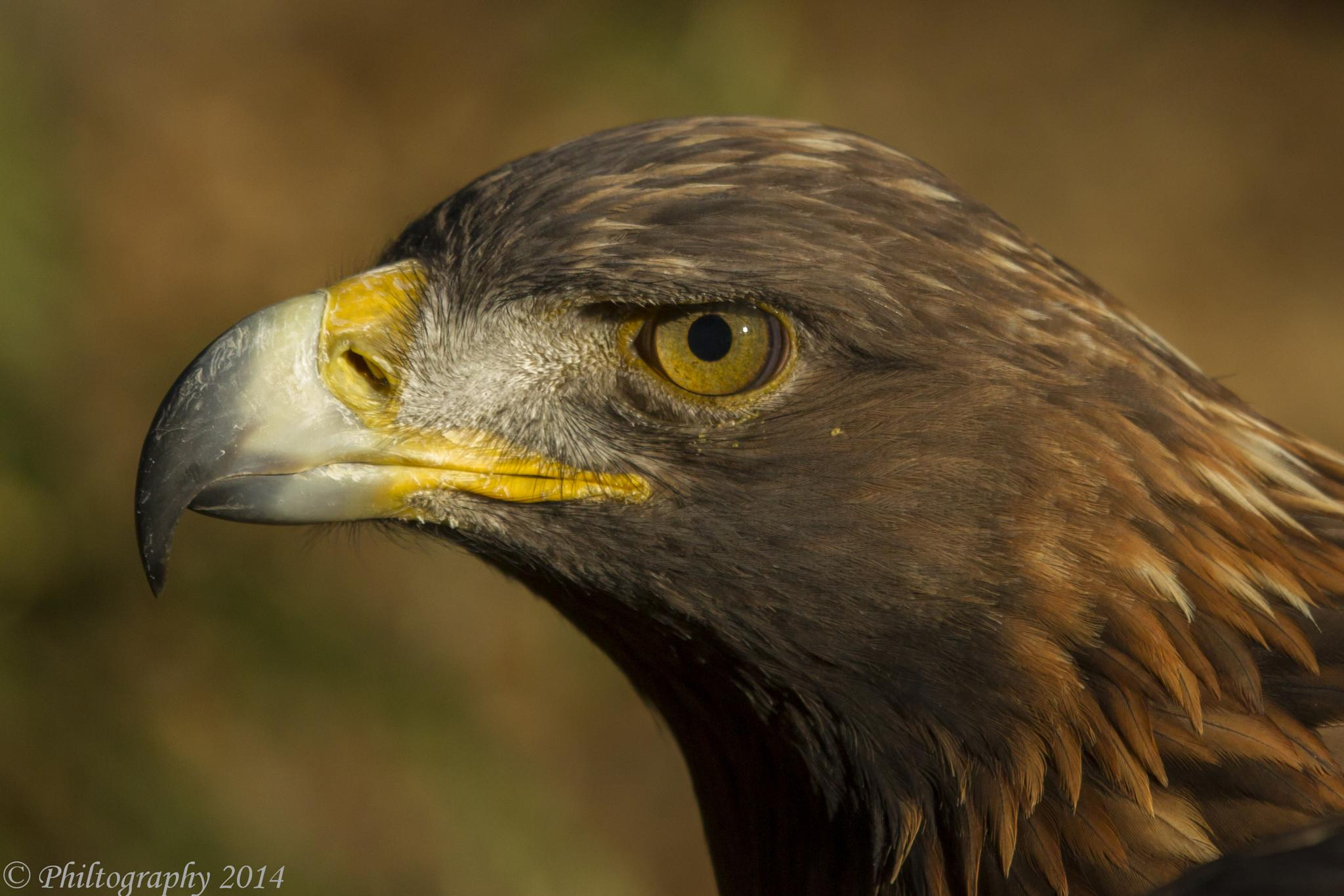 Photo in Animal #golden eagle #raptor #hawk conservancy #andover #hampshire #uk