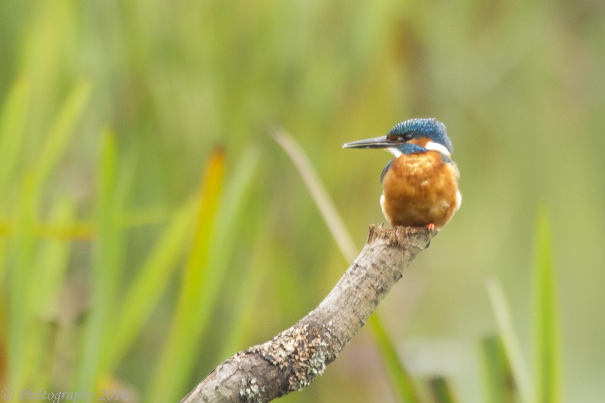 Kingfisher (saved in Lightroom) by Philtography