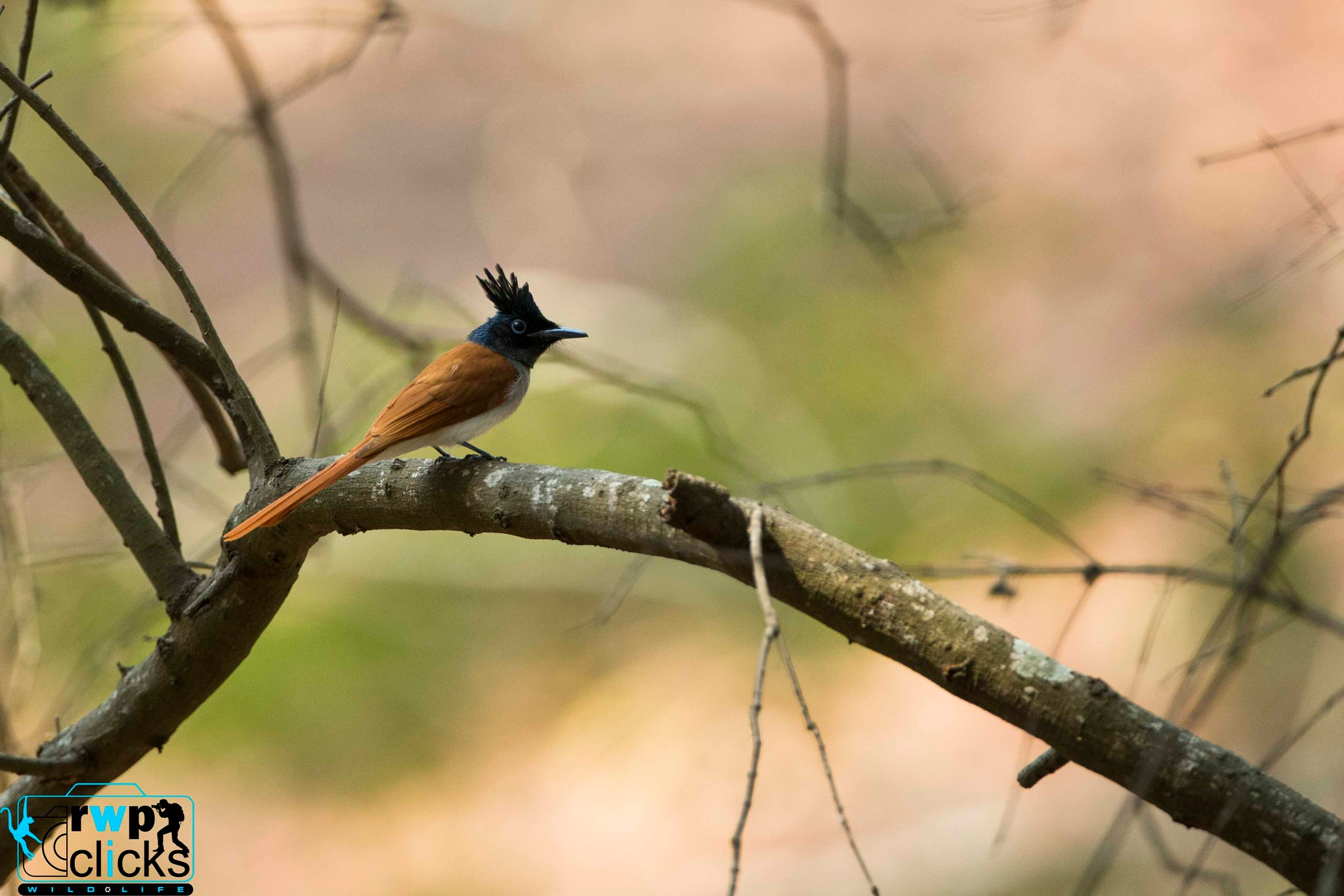 Paradise fly catcher  by Rajesh W. Pereira