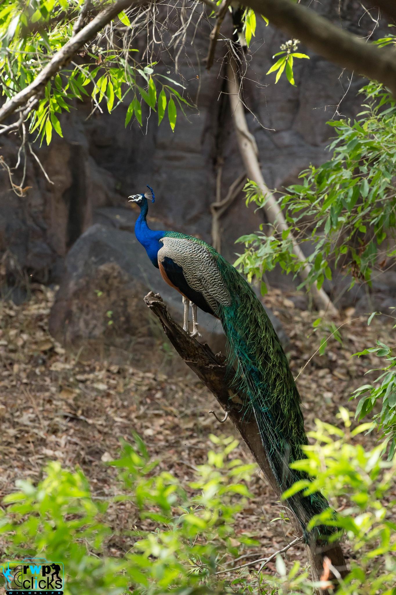 Indian Peafowl by Rajesh W. Pereira
