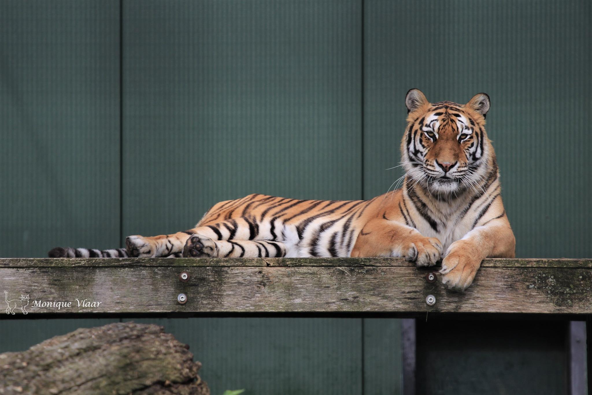 Mooie tijger dame Goha by Monique1976