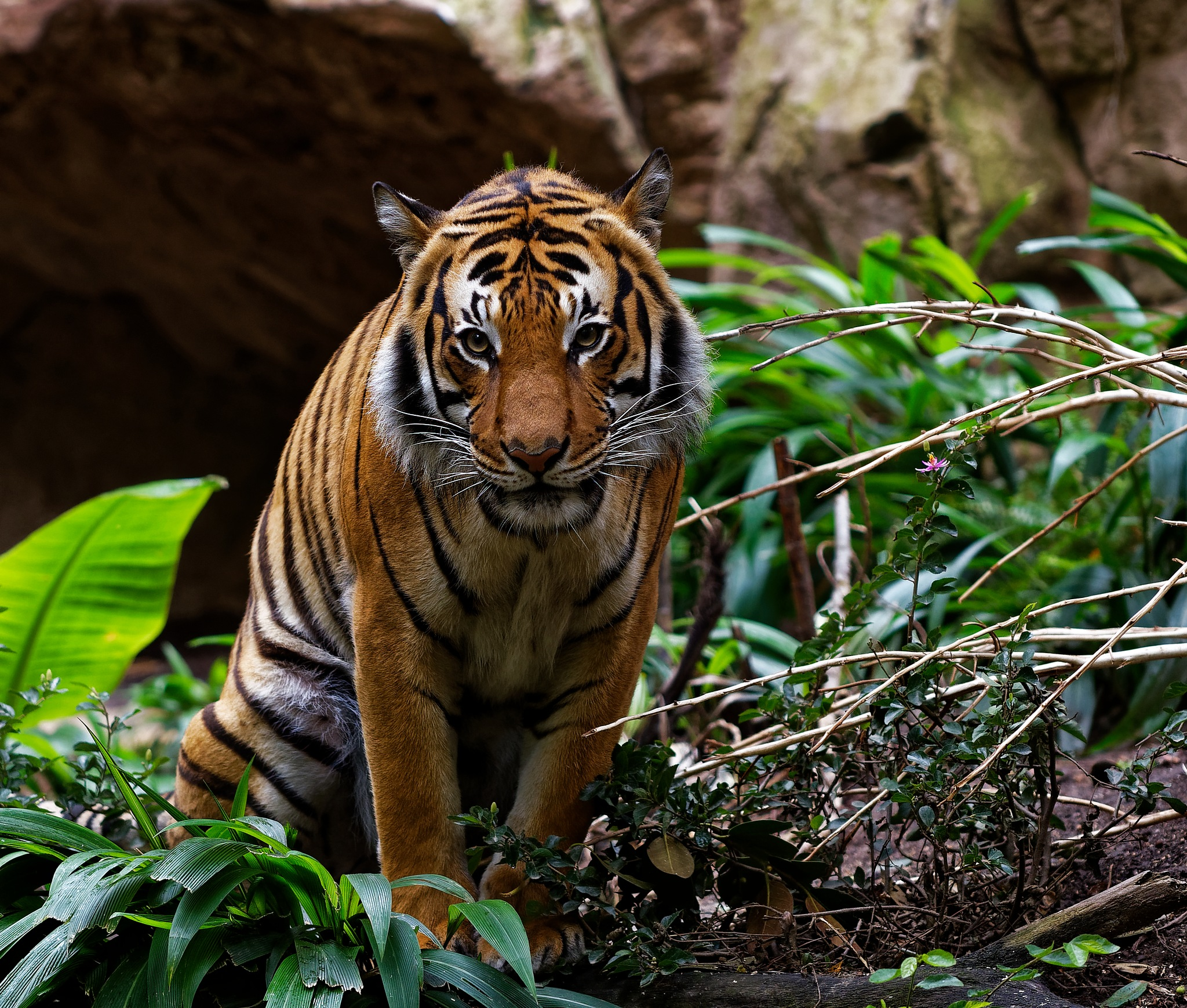 Tiger Staredown by G Ammons
