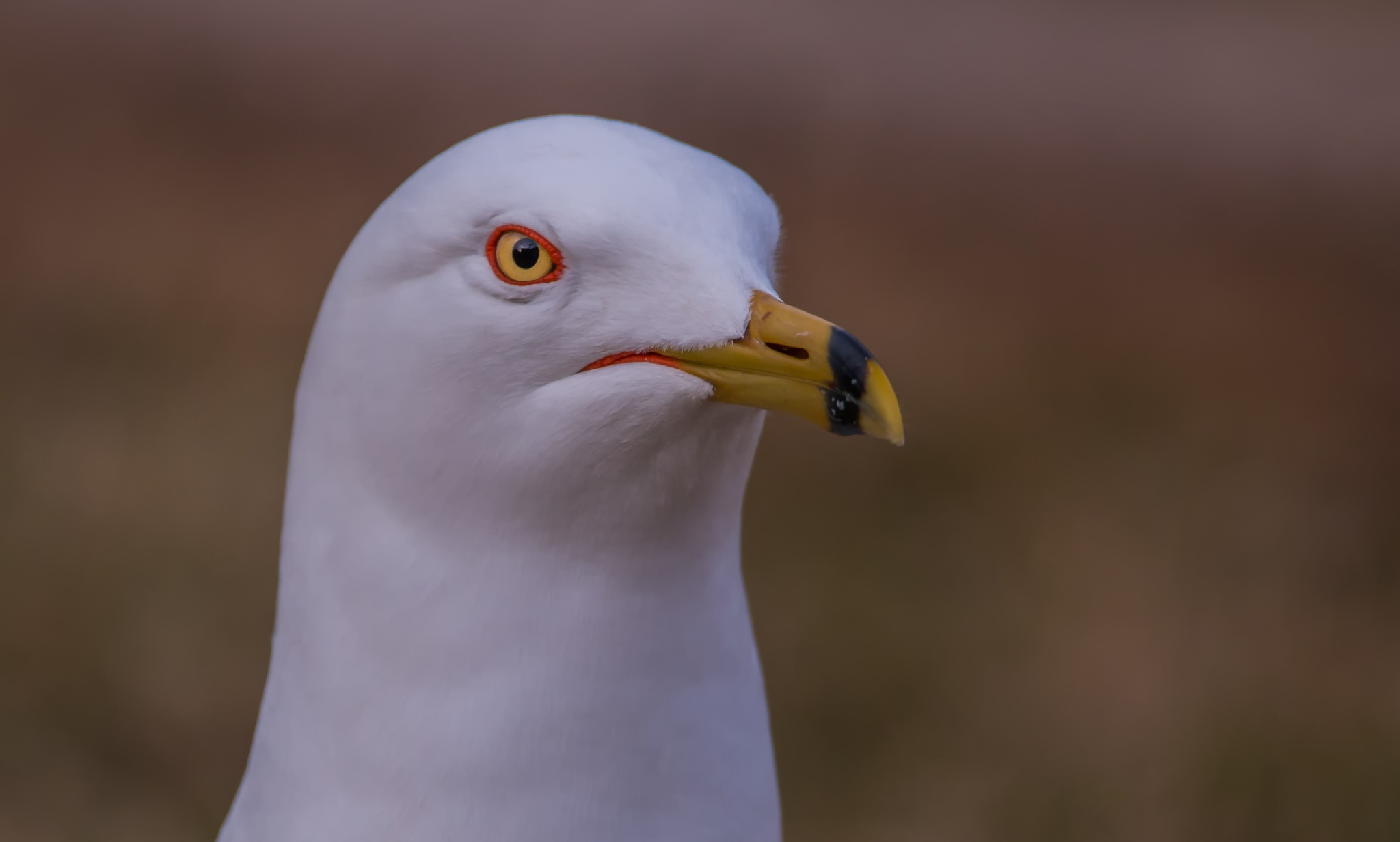 Ring-billed Seagull by Cami Lind