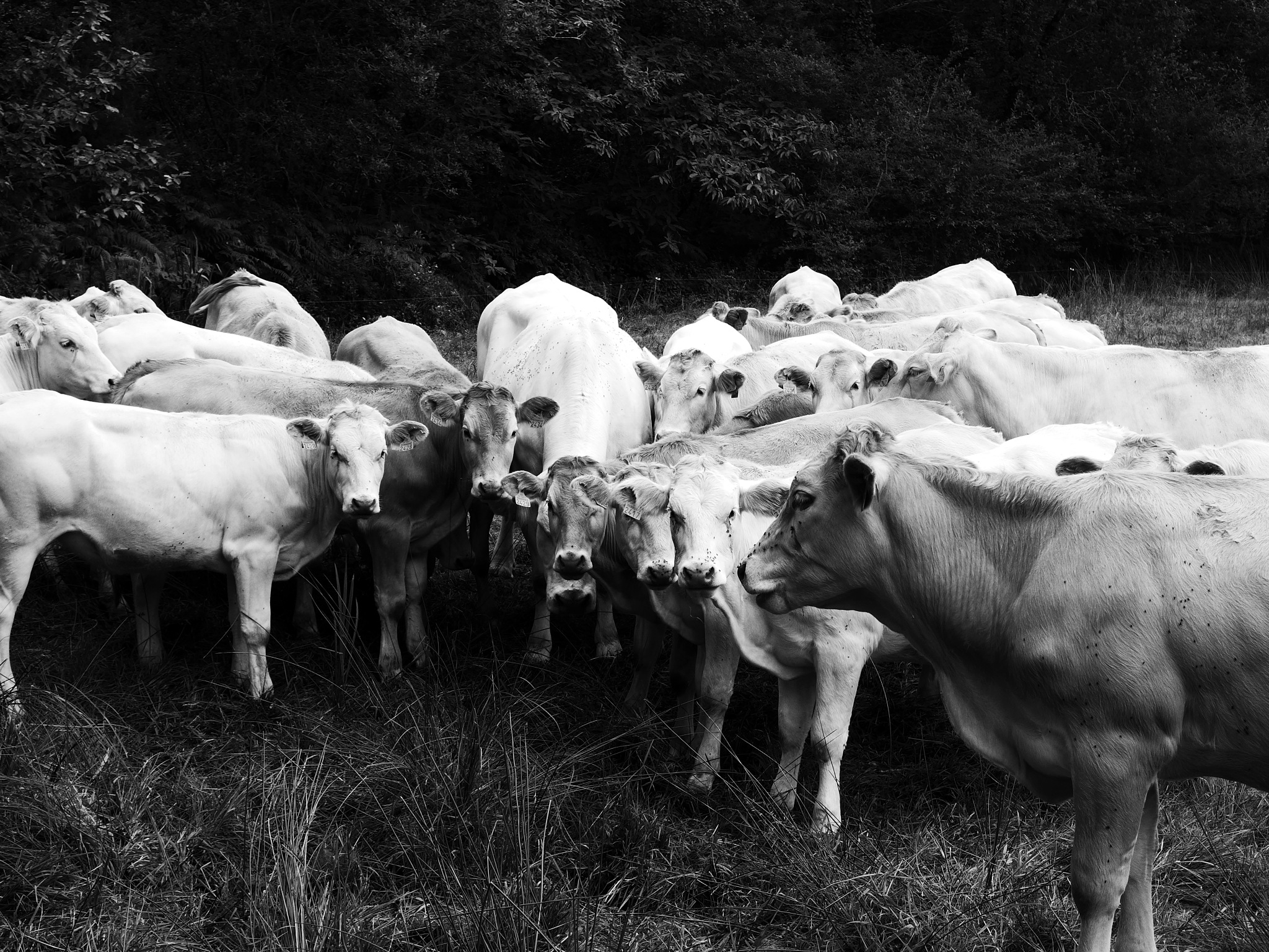 cows #1 by philray