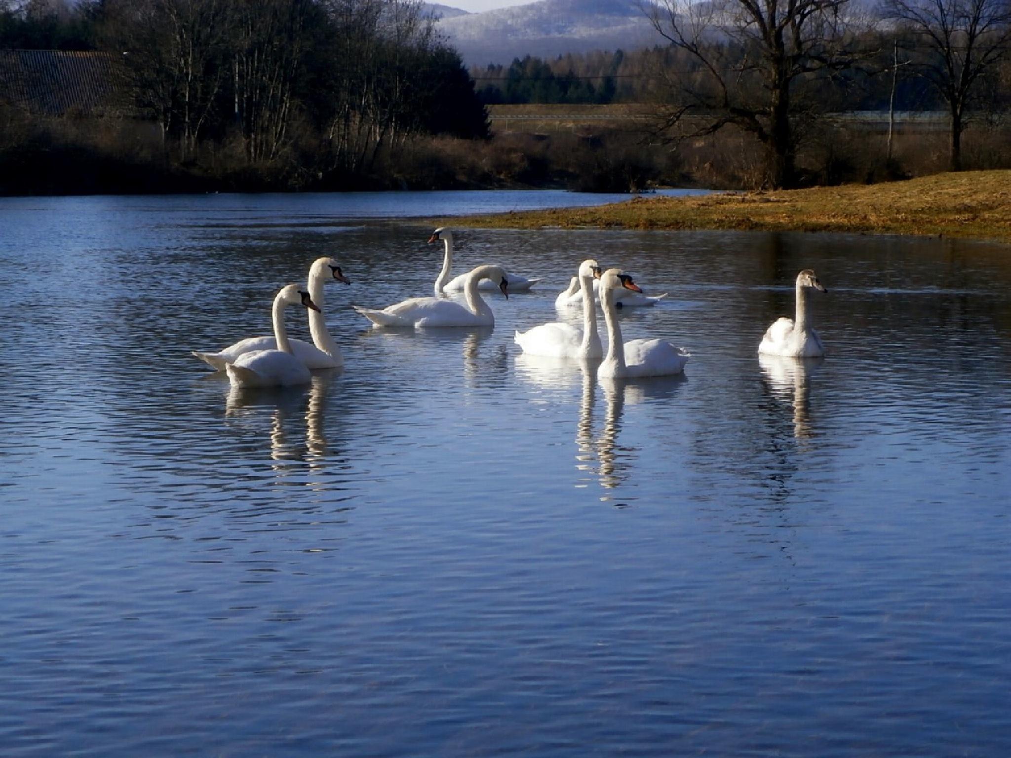 swan lake by Josip Šibarić