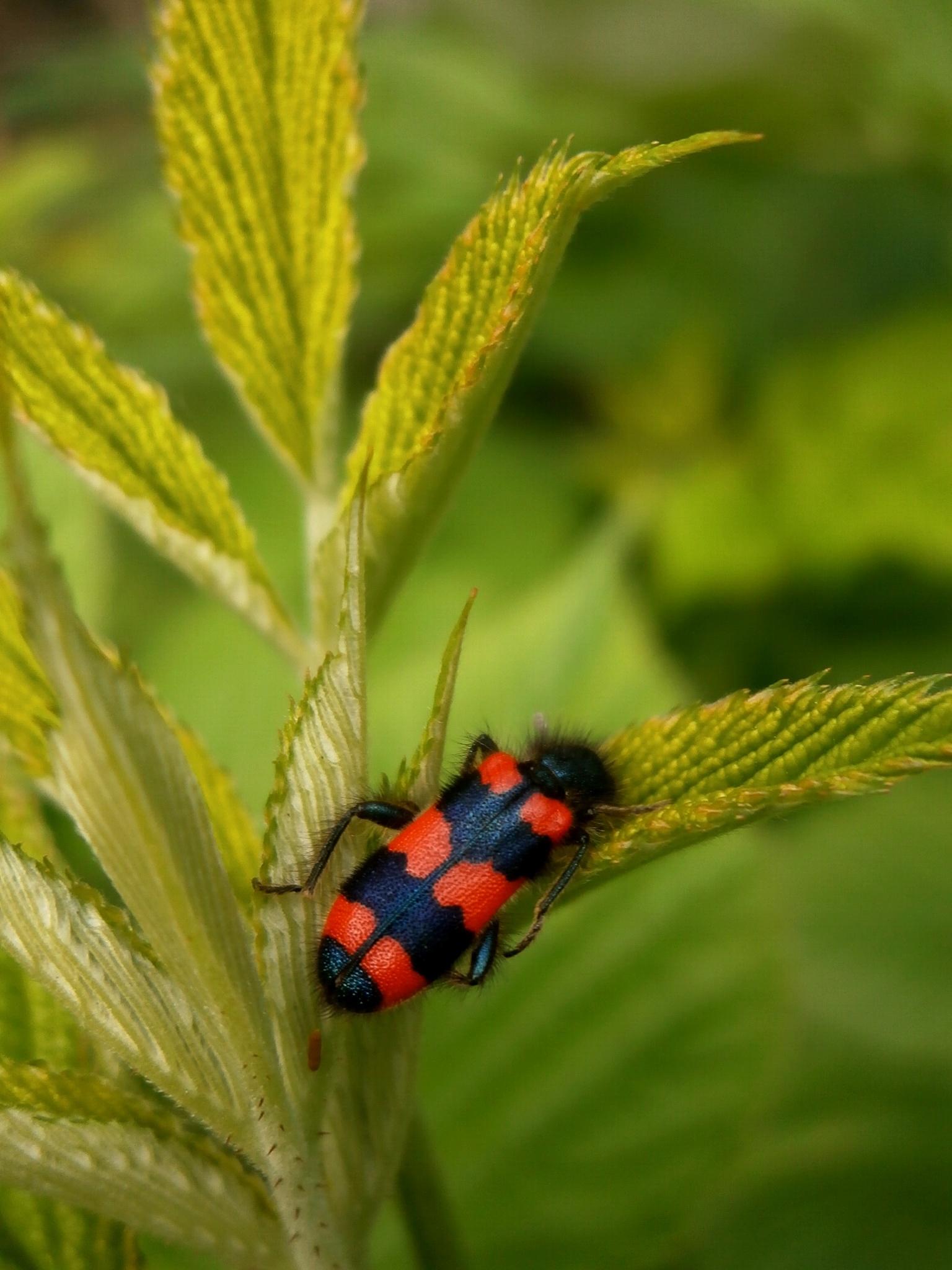 red-black beetle by Josip Šibarić