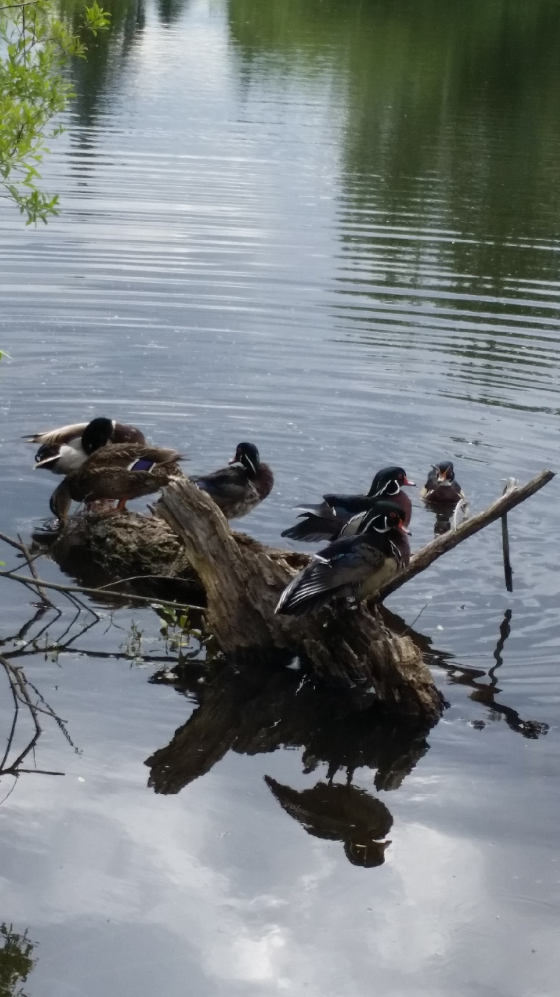 Beautiful quack quack by B56