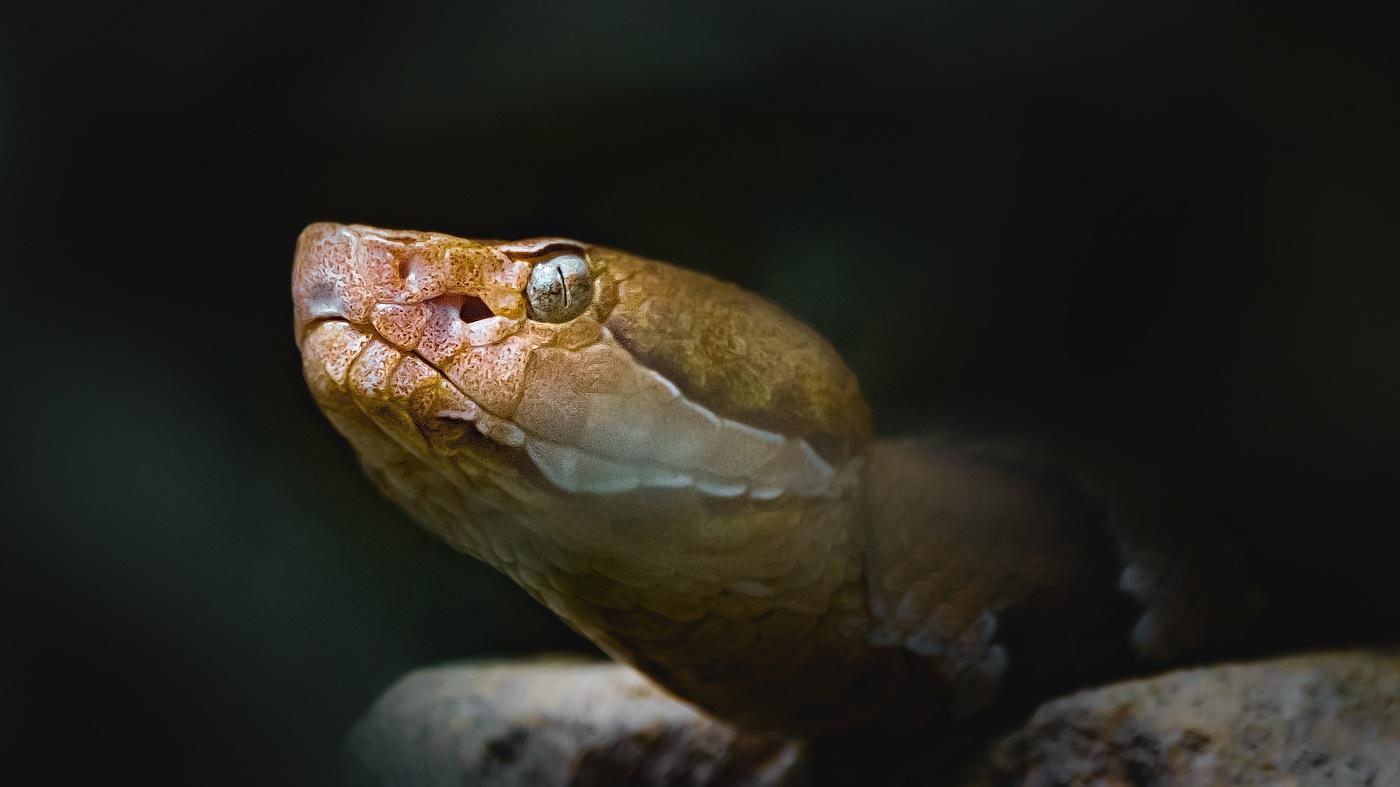 Agkistrodon contortrix pictigaster by Heiko Schmidt