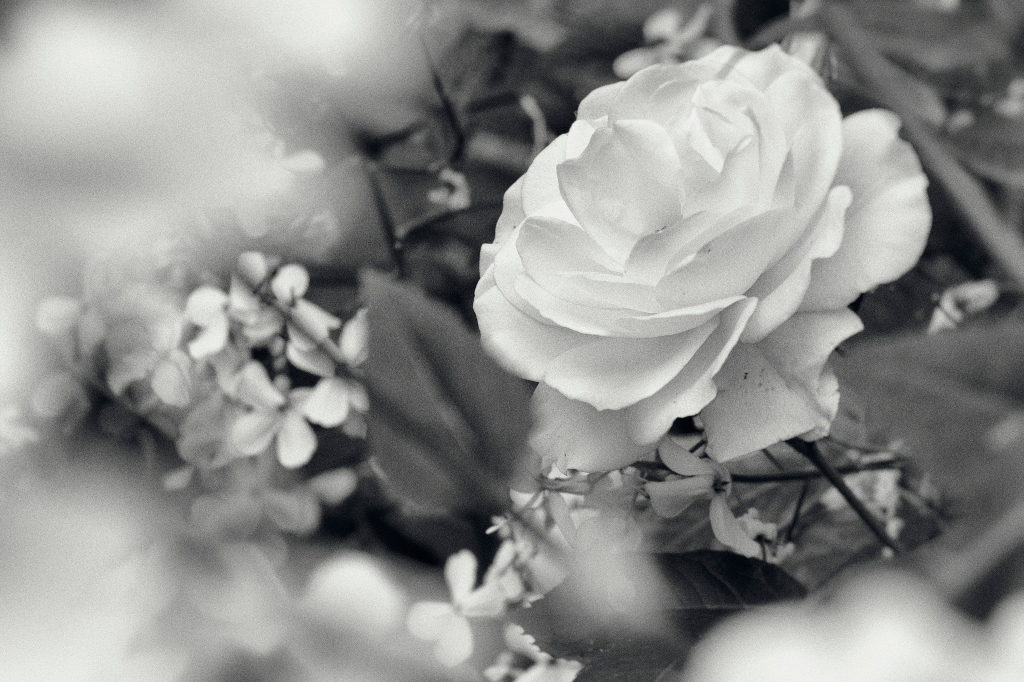 A Fairer Rose by In Praise Of Shadows