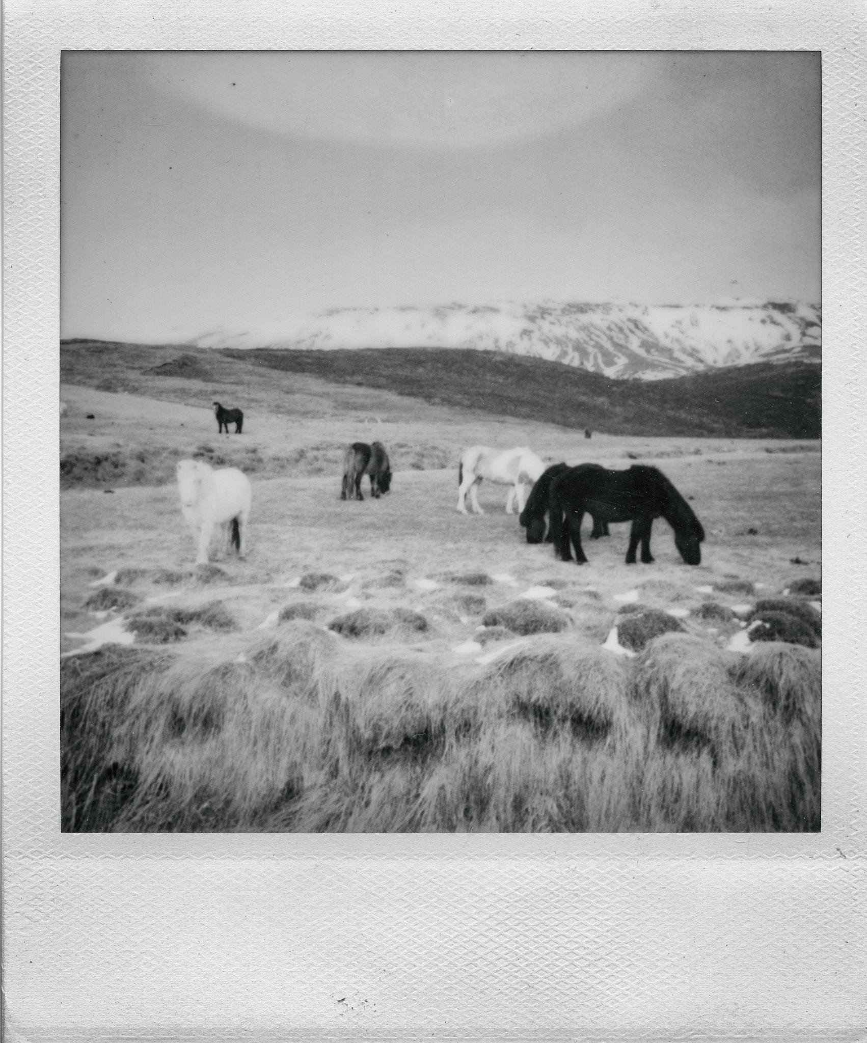 Icelandic Horses by In Praise Of Shadows