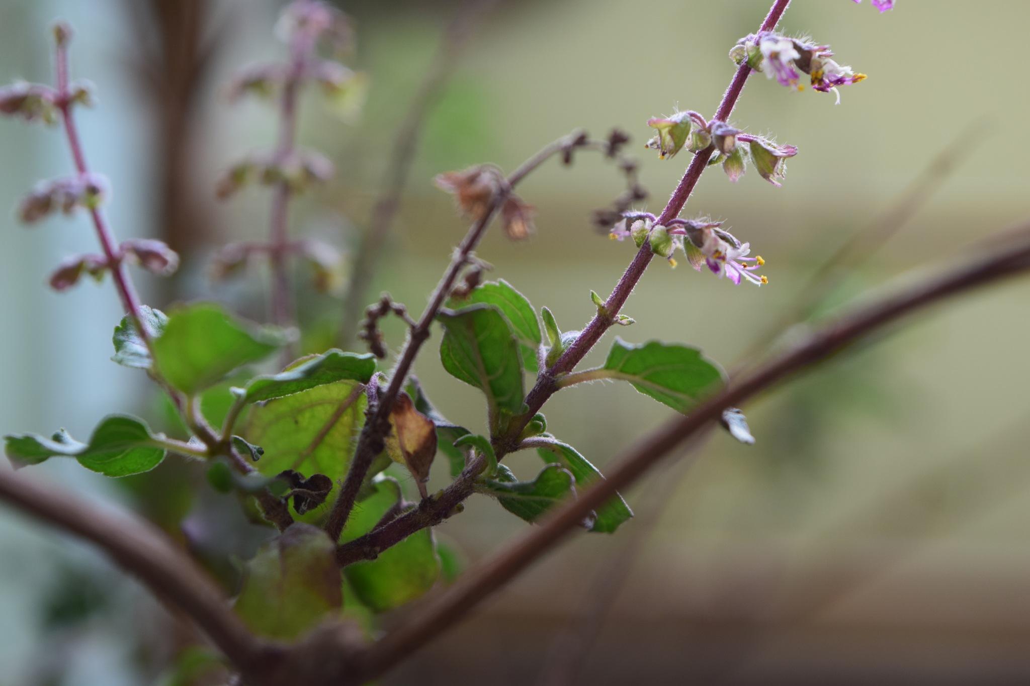 Ocimum tenuiflorum by Avinash Sharma
