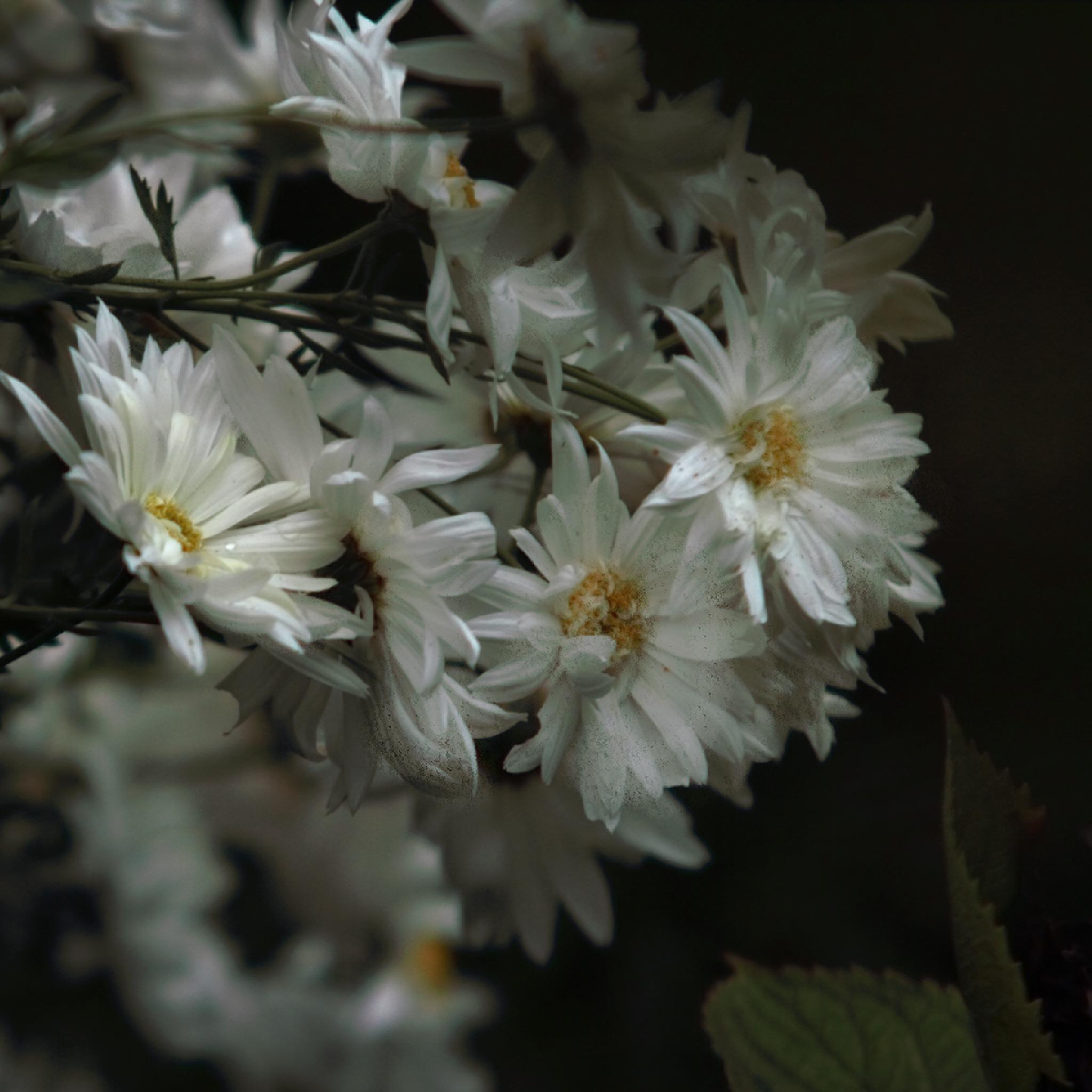 Last flowers by Jasnuše Mildorfová