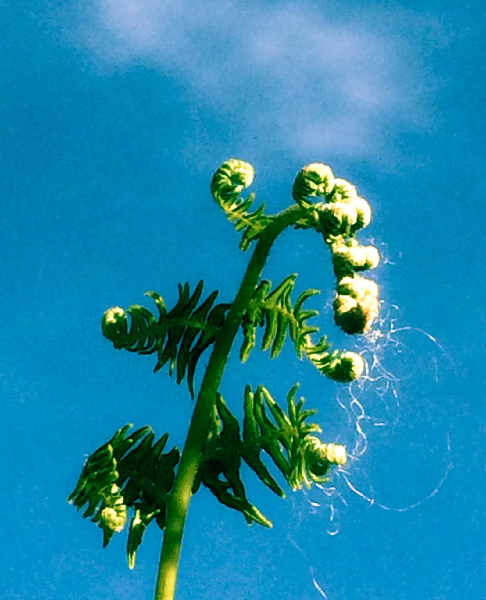 Curly Fern by Tracey Glazebrook