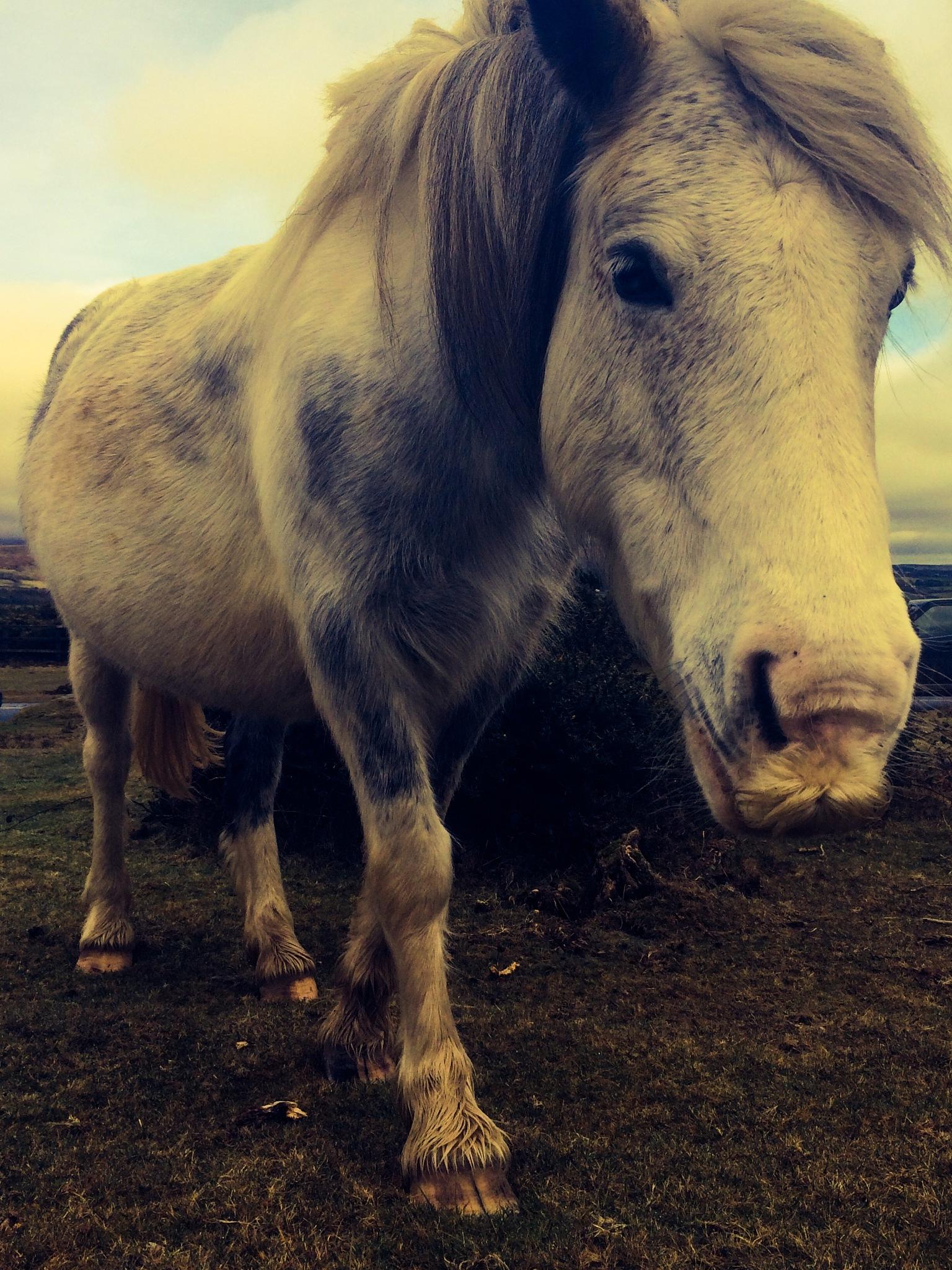 Dartmoor Pony 2 by Tracey Glazebrook