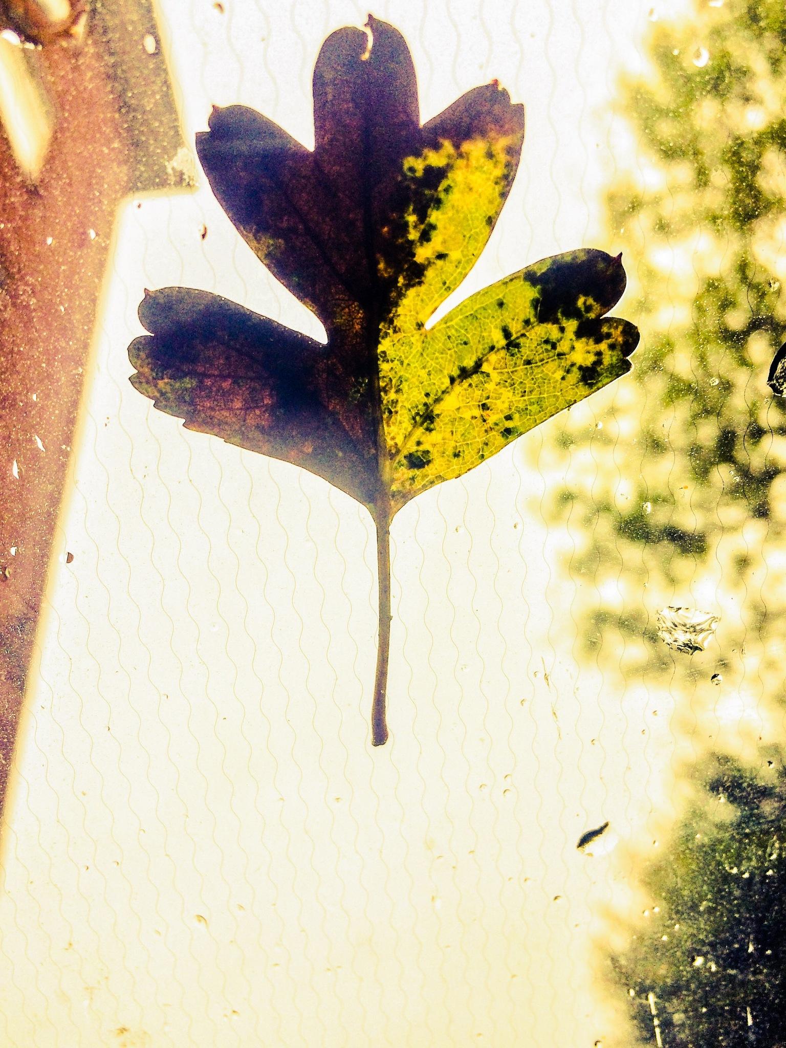 Leaf on the window by Tracey Glazebrook