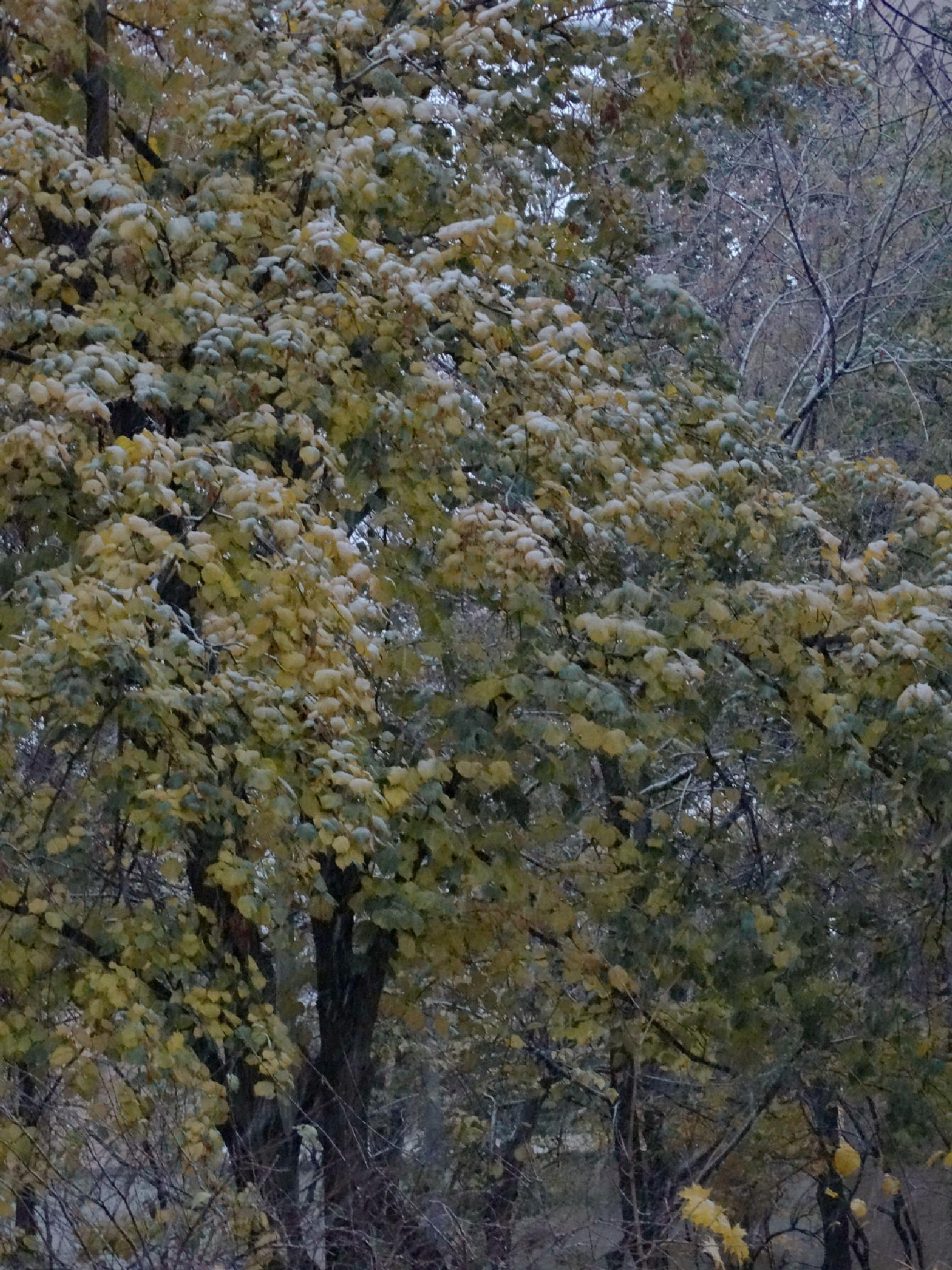 Снег, укрывший листву by tarutinaolga2012