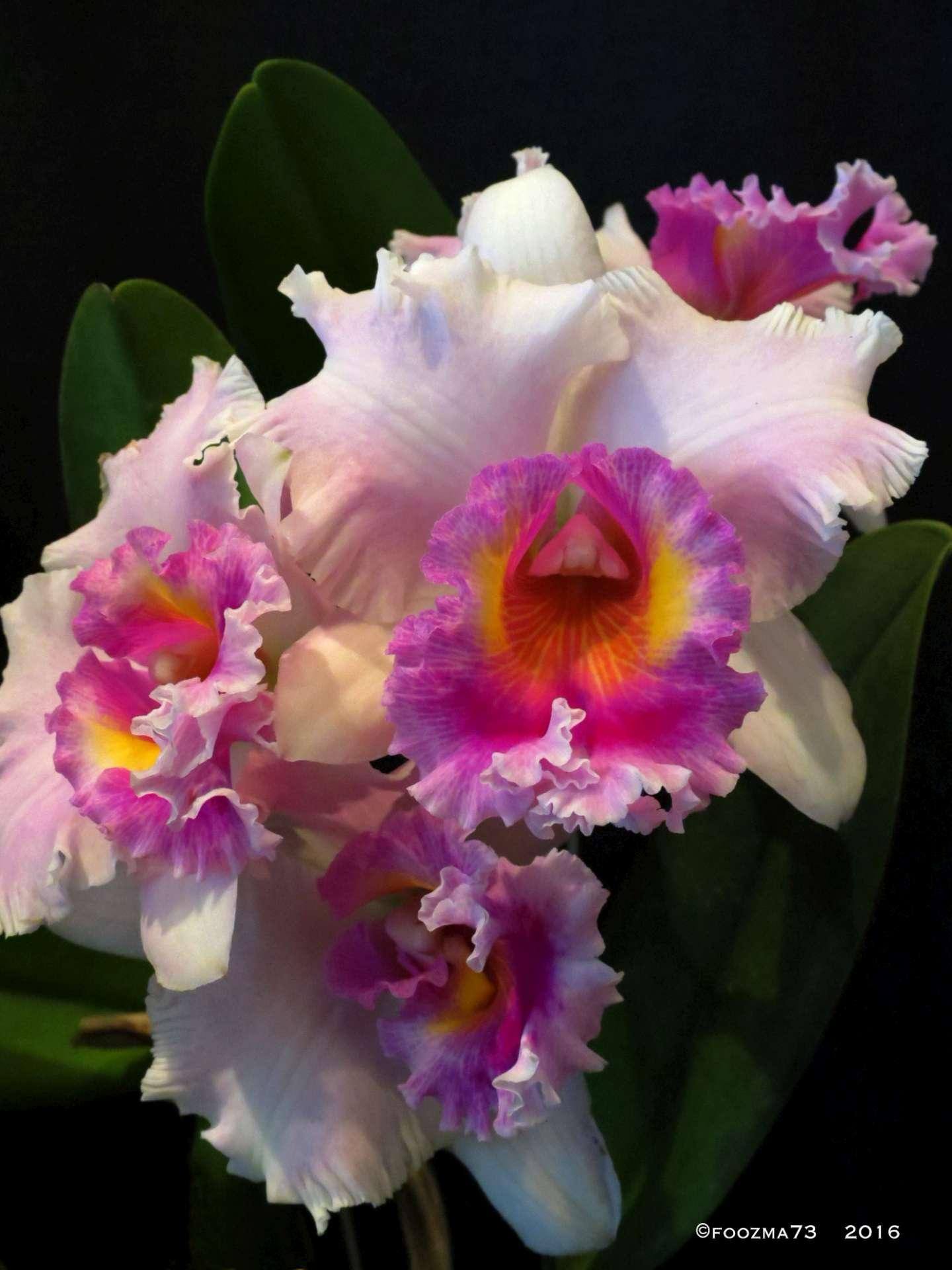 Cattleya Orchid by Jennifer A. Wheaton