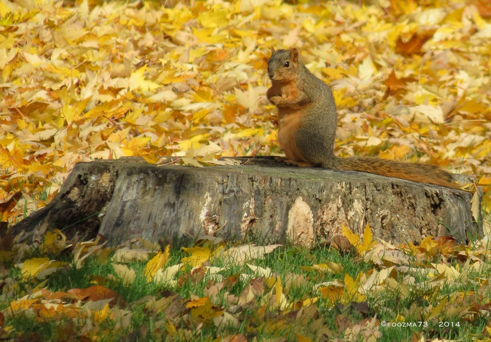 Autumn Squirrel by Jennifer A. Wheaton