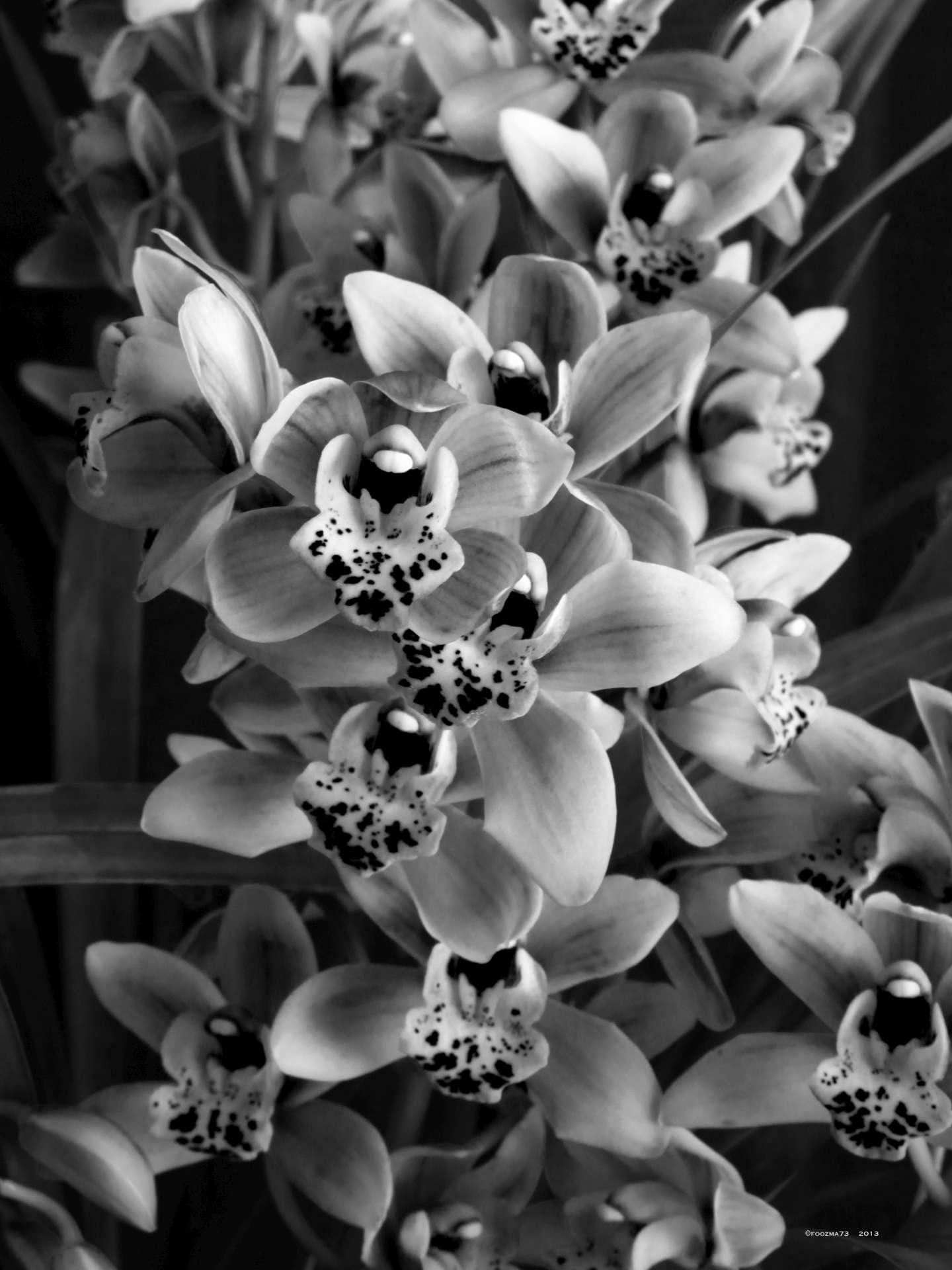 Cymbidium in Black and White by Jennifer A. Wheaton