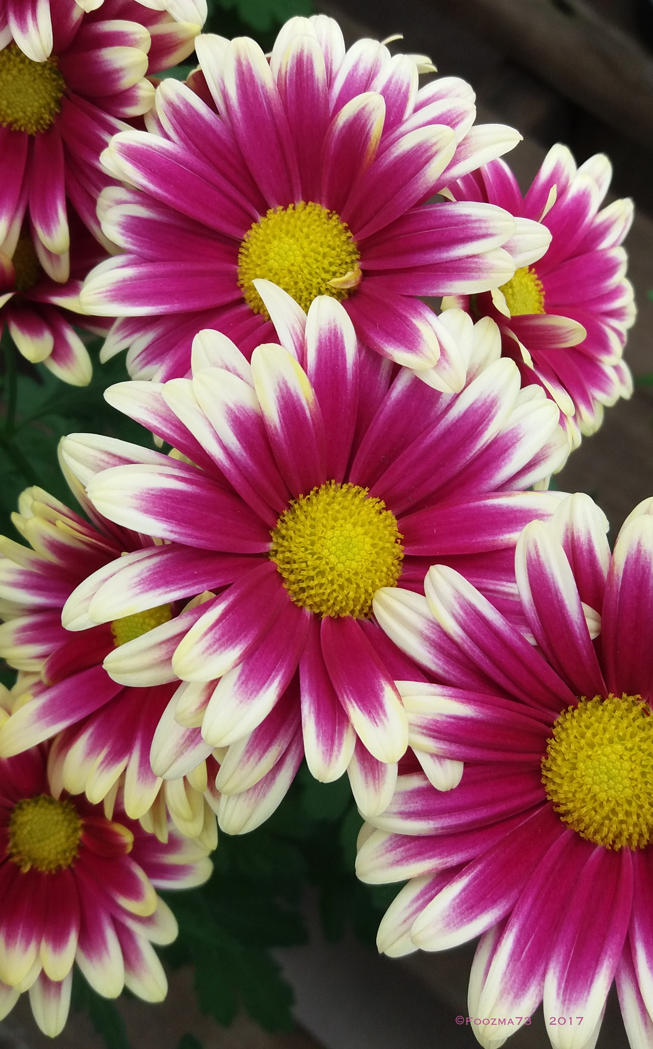 Pretty Chrysanthemums by Jennifer A. Wheaton