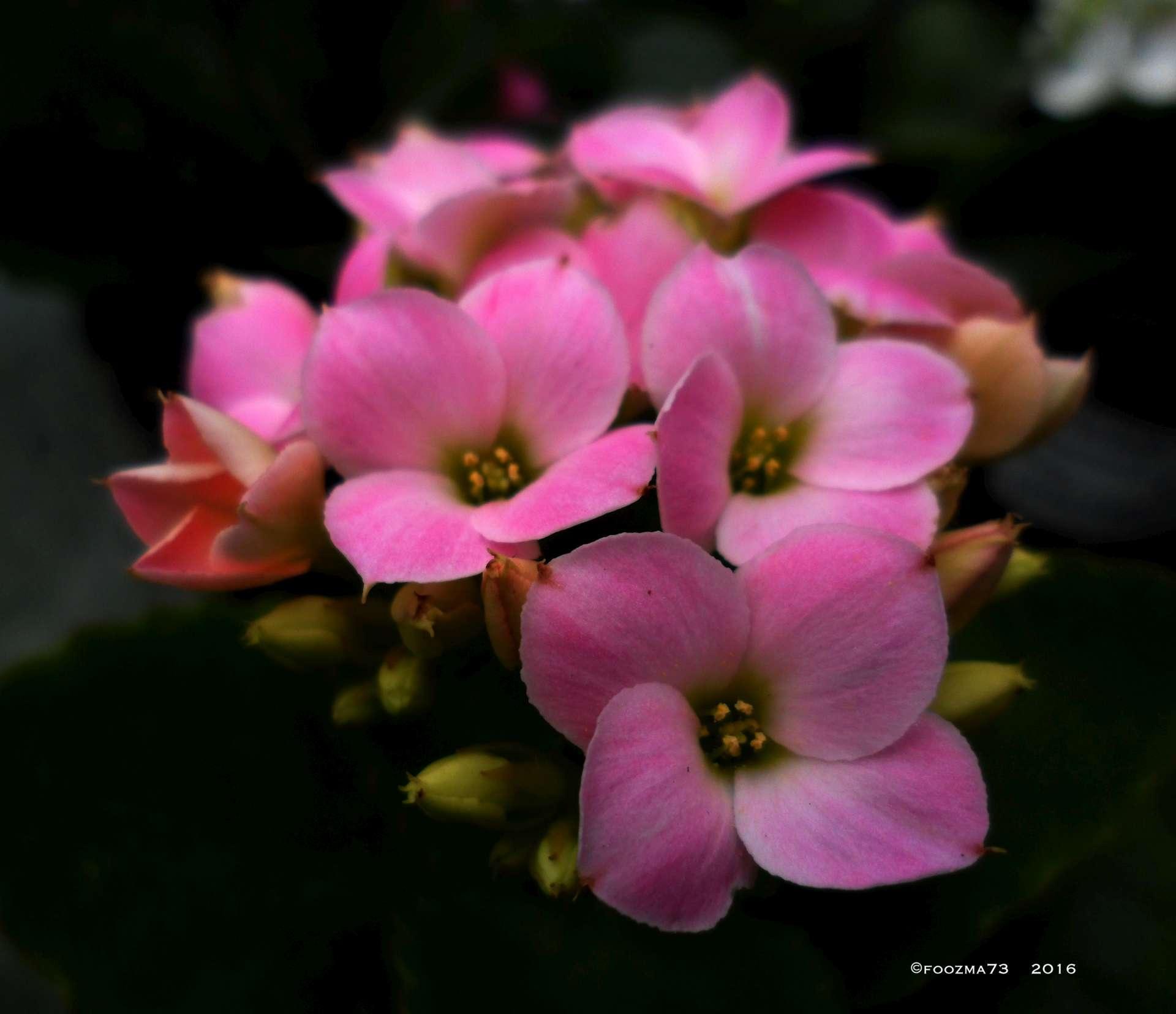 Pink Kalanchoe  by Jennifer A. Wheaton