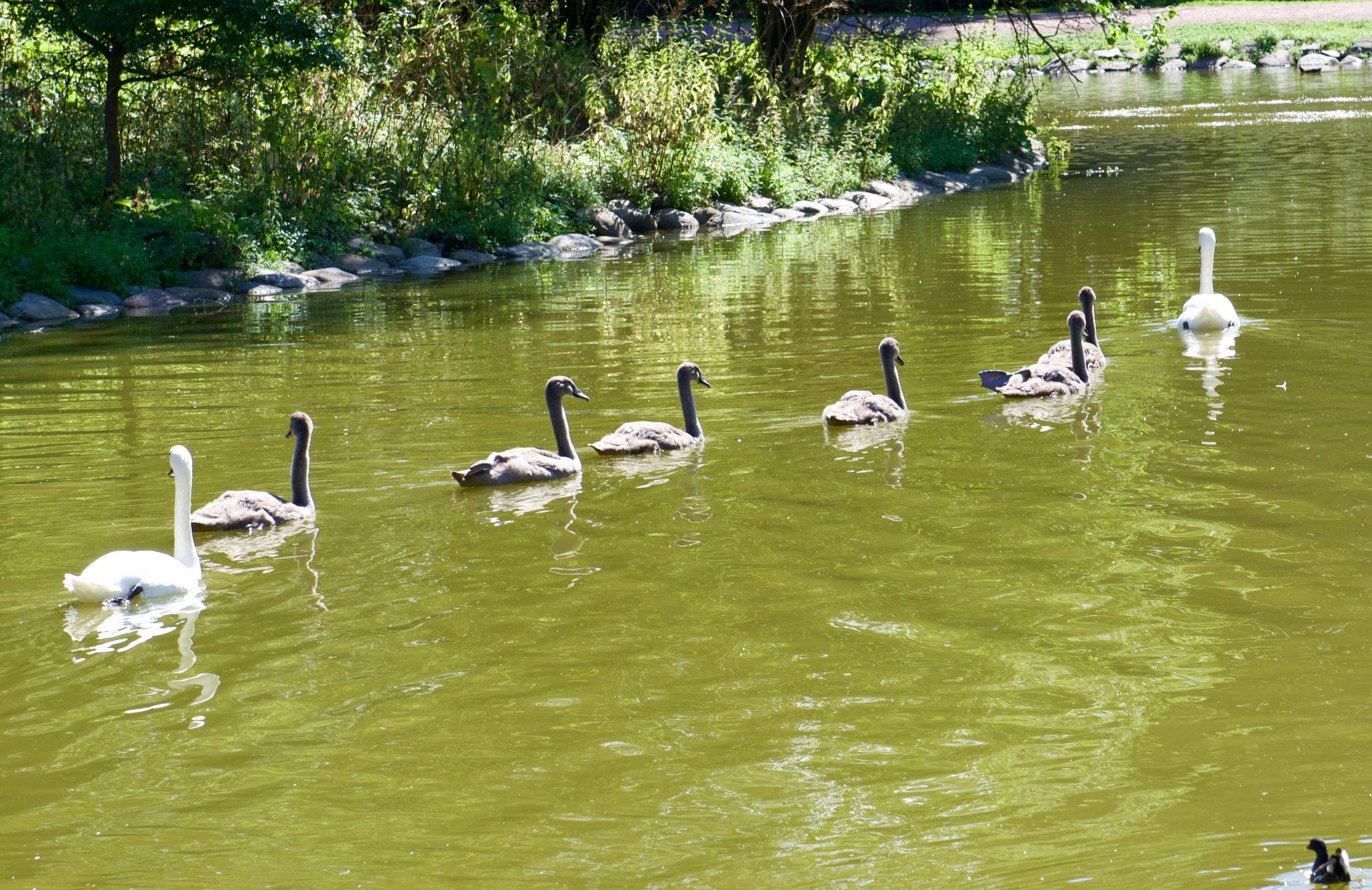 Swan Family ! by Memed Bayatli