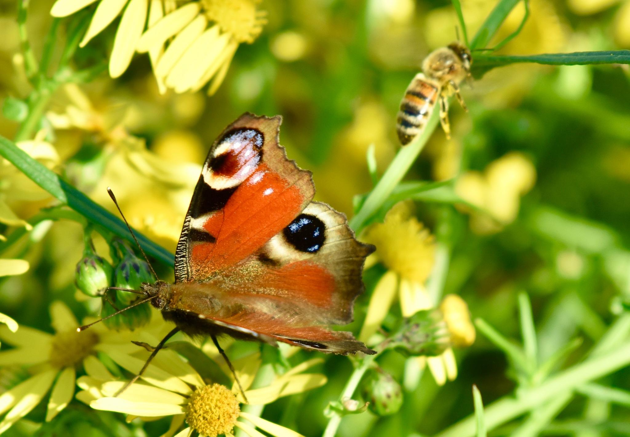 Butterfly with bee ! by Memed Bayatli