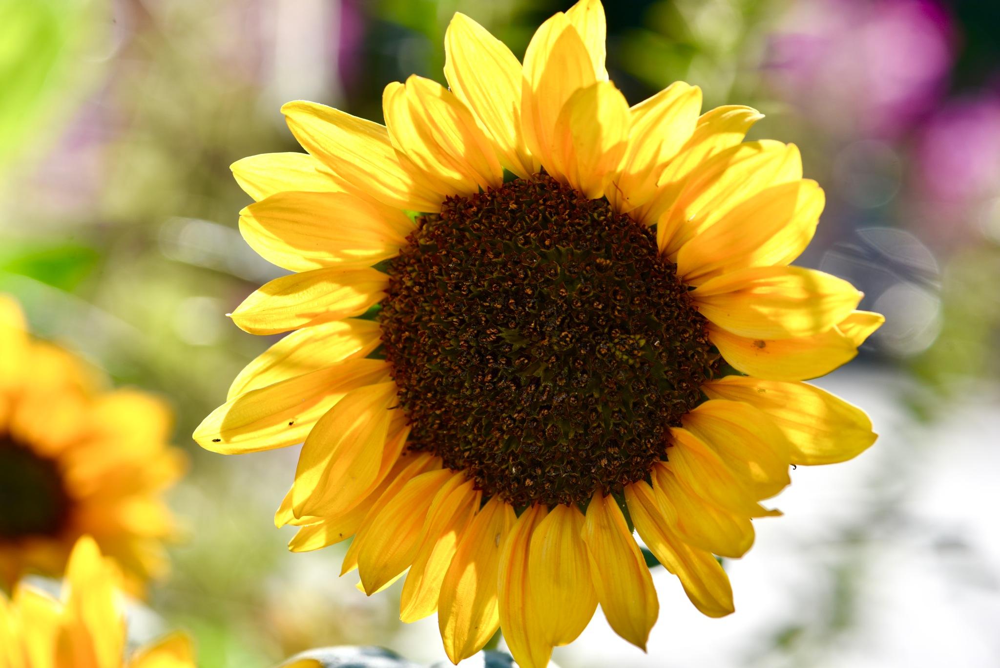 Sunflower 99! by Memed Bayatli
