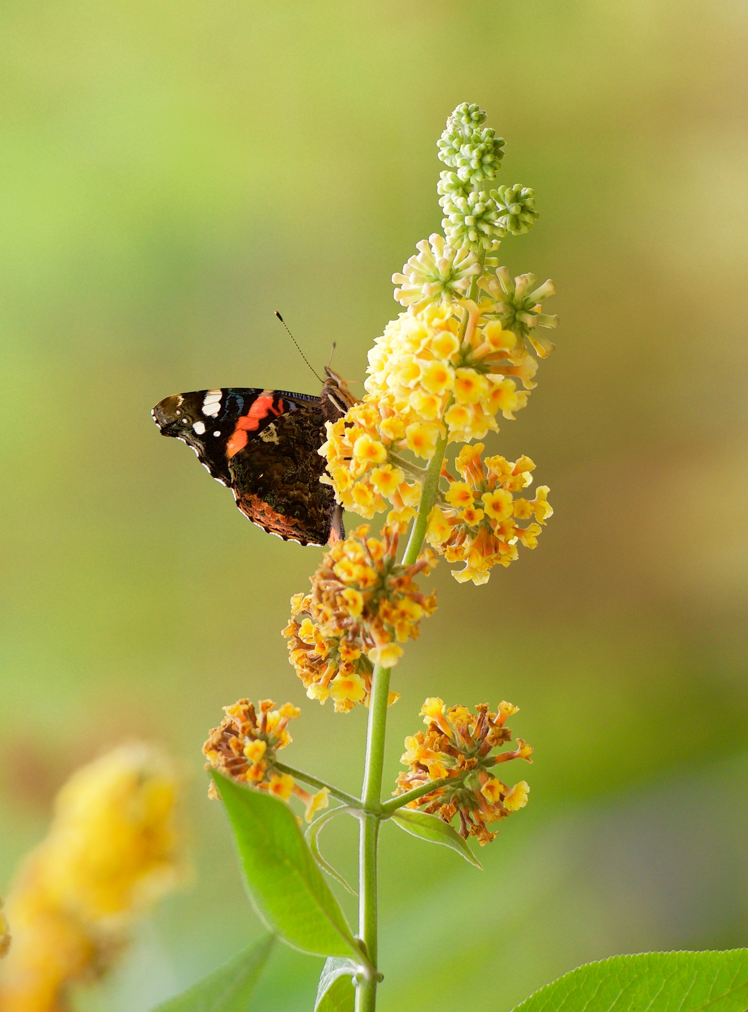 Butterfly 100! by Memed Bayatli