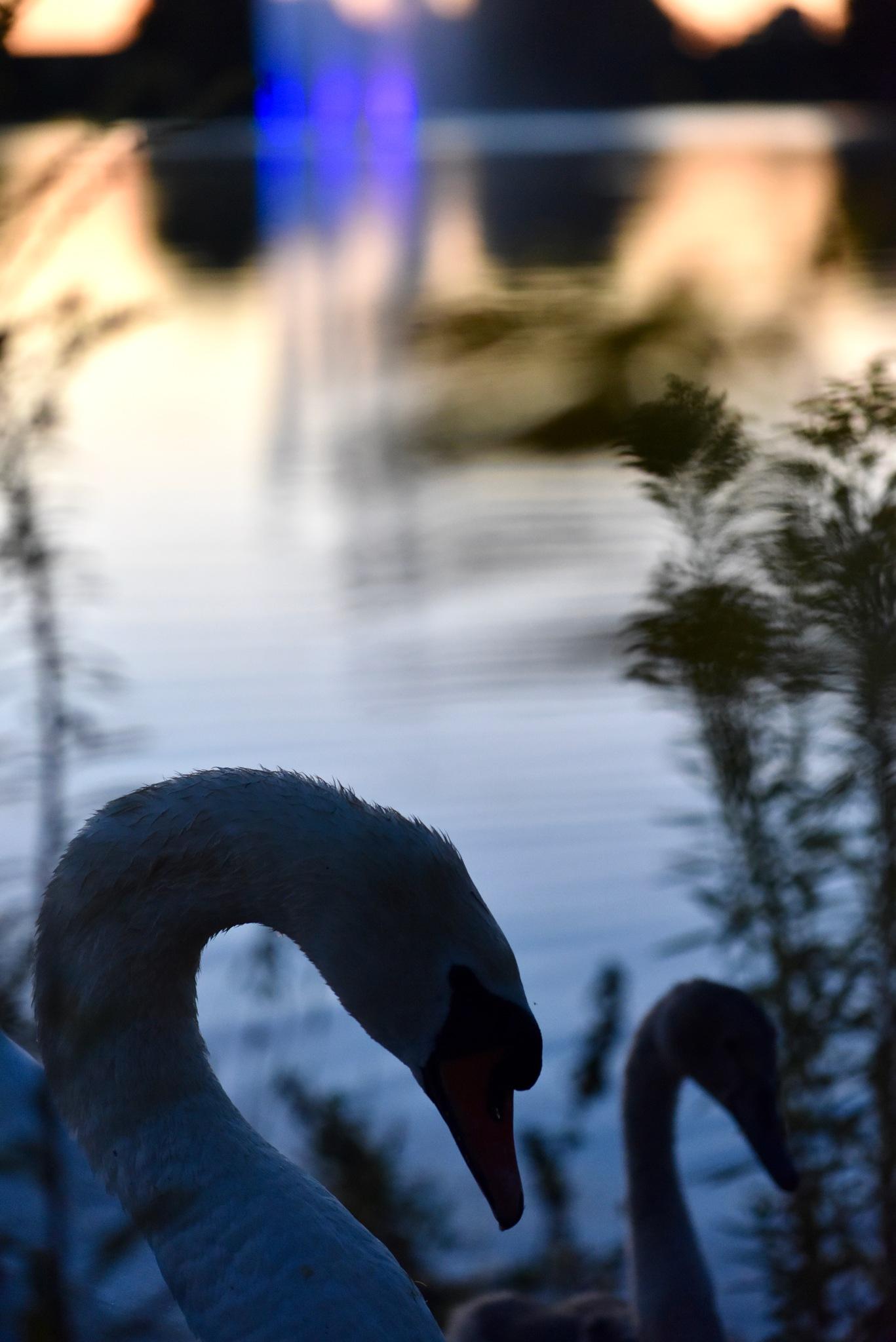 Swan 78! by Memed Bayatli