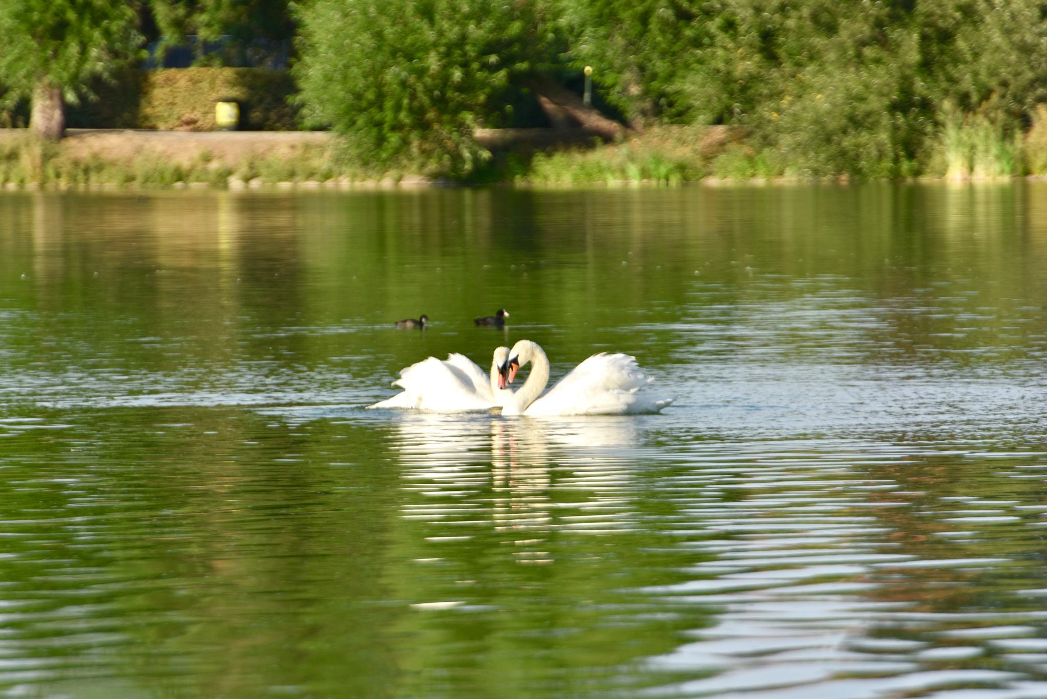 Swans 388! by Memed Bayatli