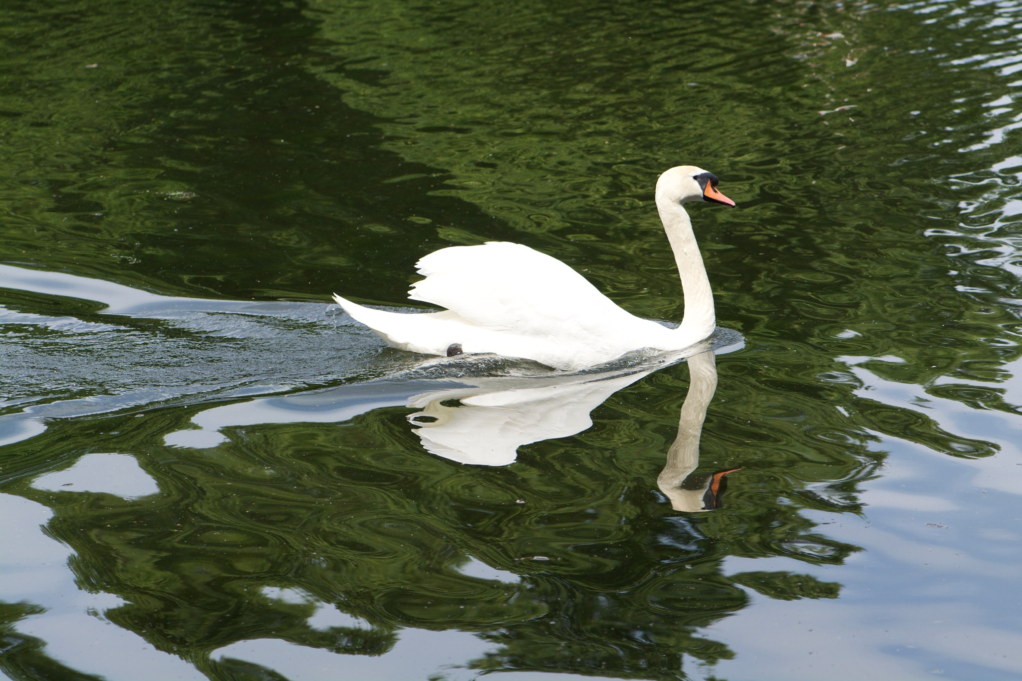 Swan 190! by Memed Bayatli