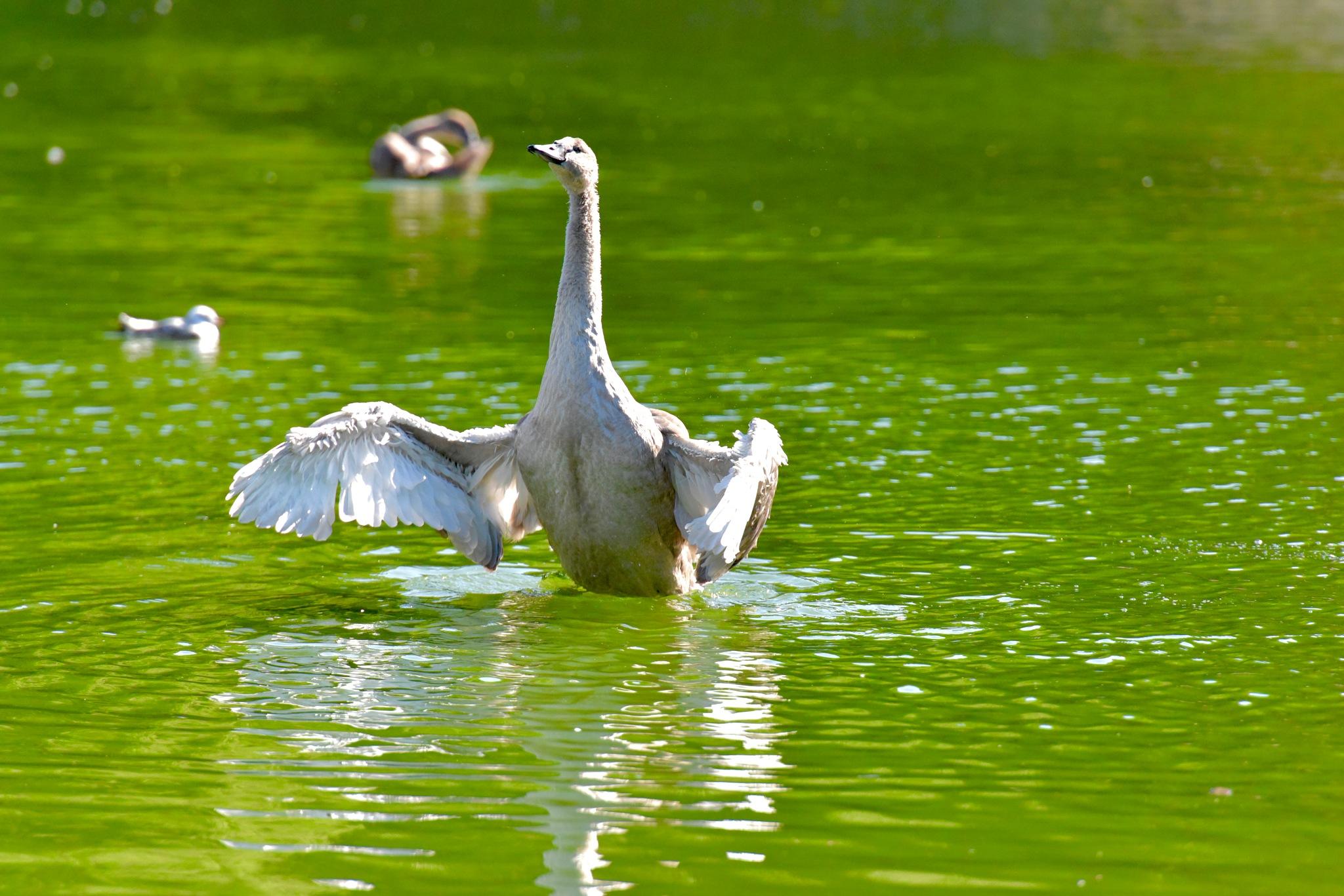 Flying Swan 100! by Memed Bayatli