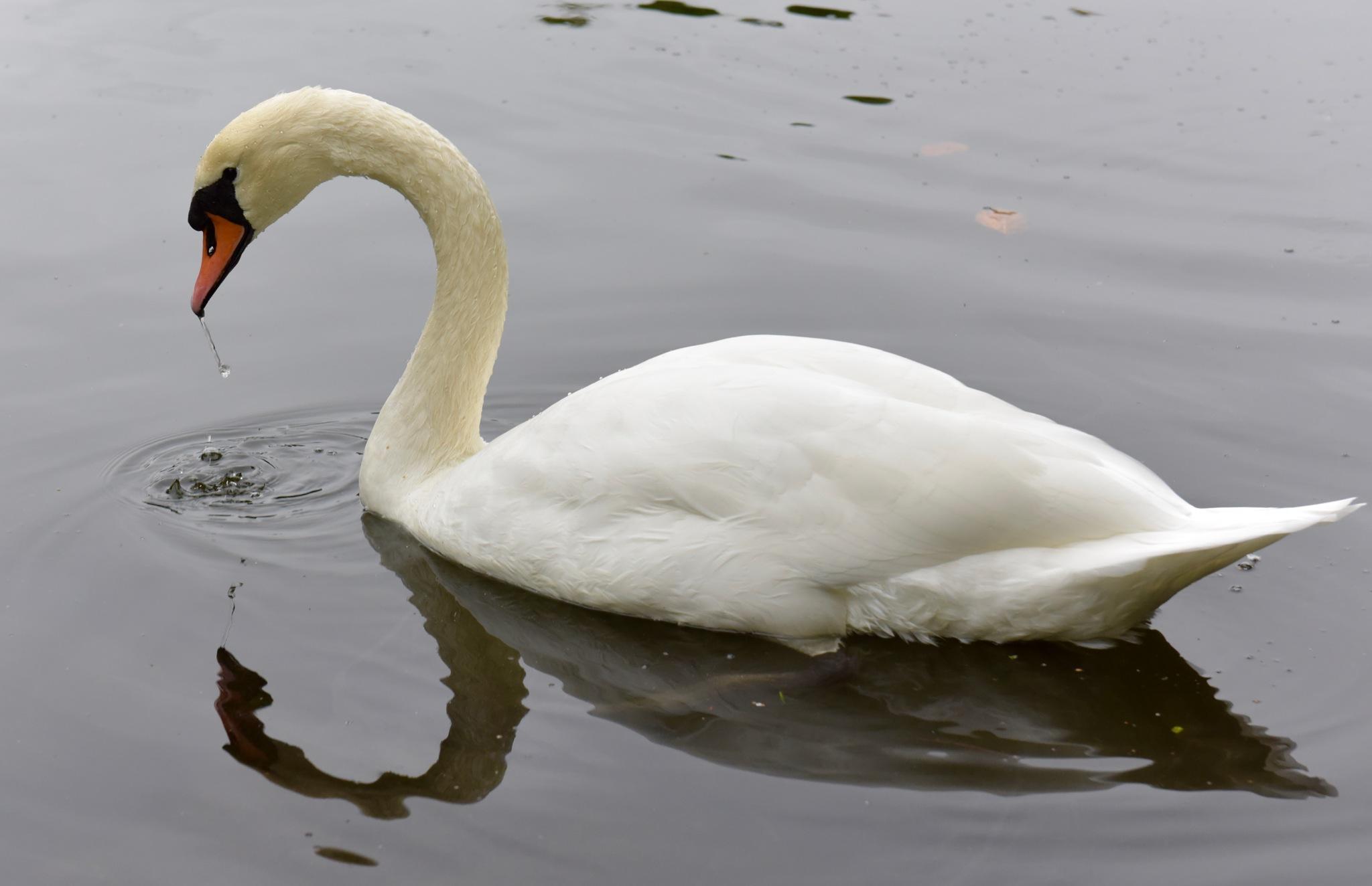 Swan 9911! by Memed Bayatli