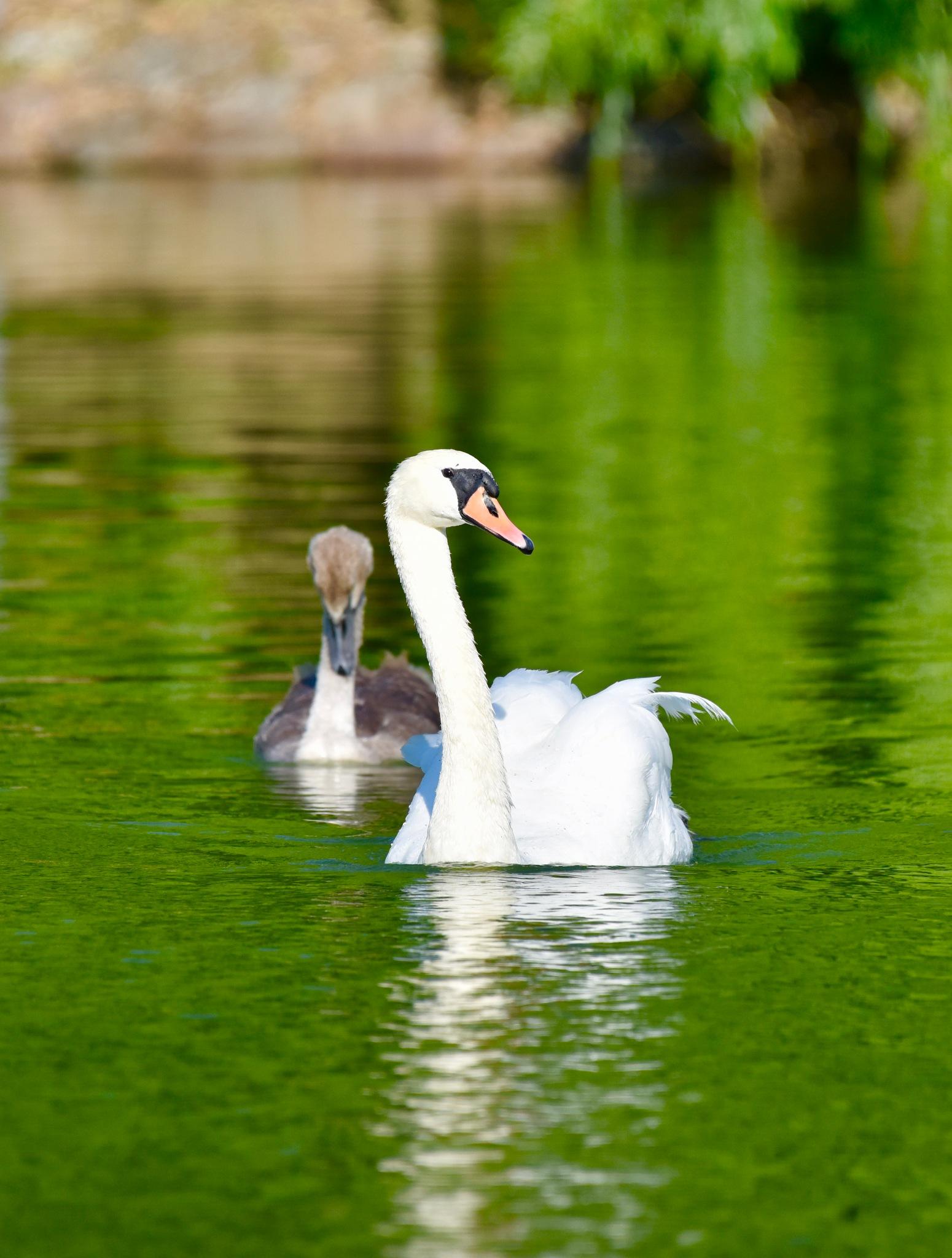 Swan 91! by Memed Bayatli