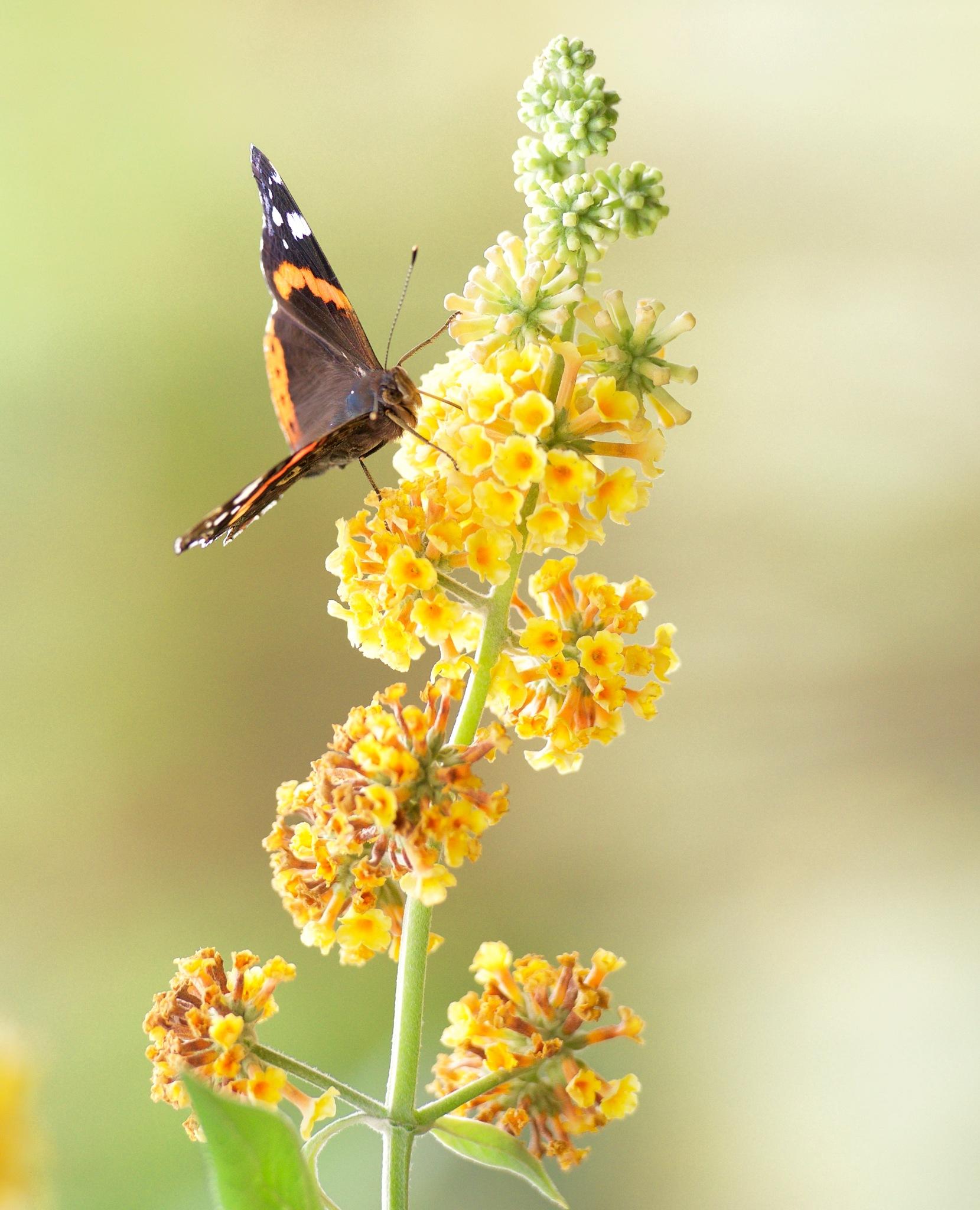 Butterfly 300! by Memed Bayatli