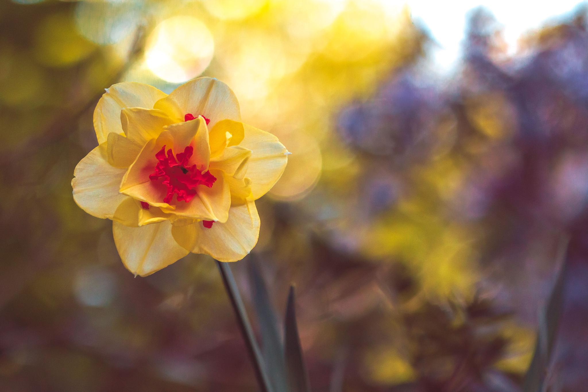 Daffodil Dance by Angie M